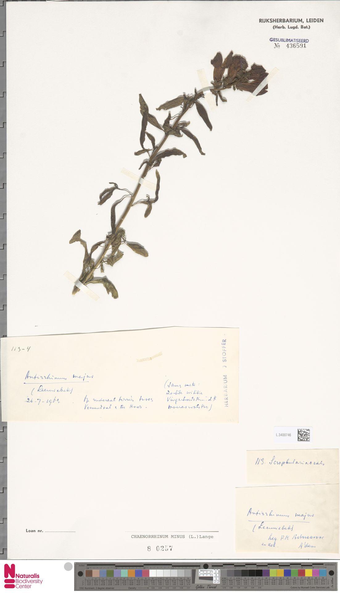 L.3400746 | Antirrhinum majus L.