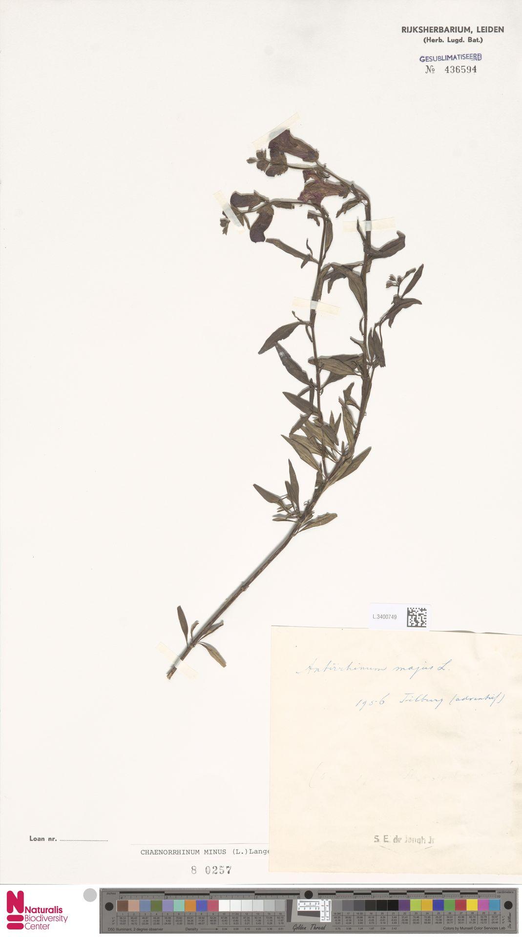 L.3400749 | Antirrhinum majus L.