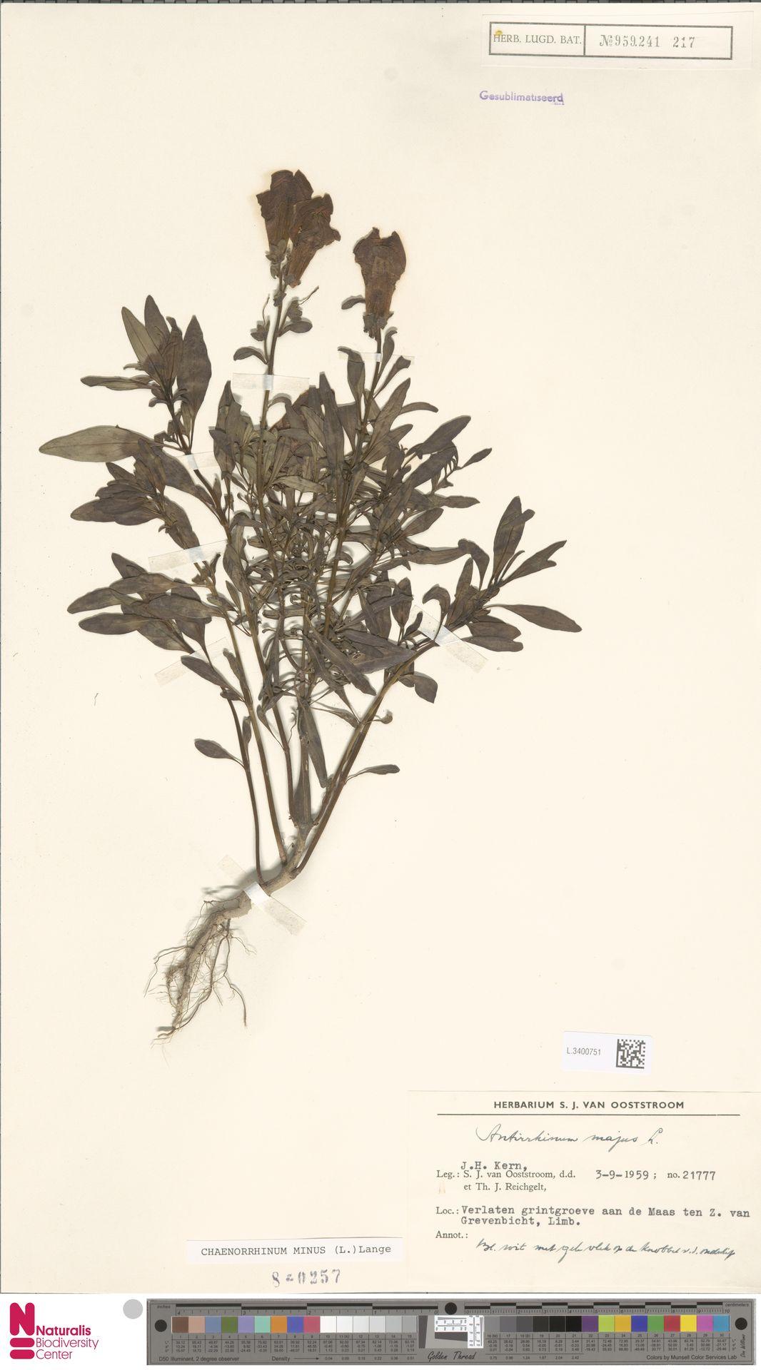 L.3400751 | Antirrhinum majus L.