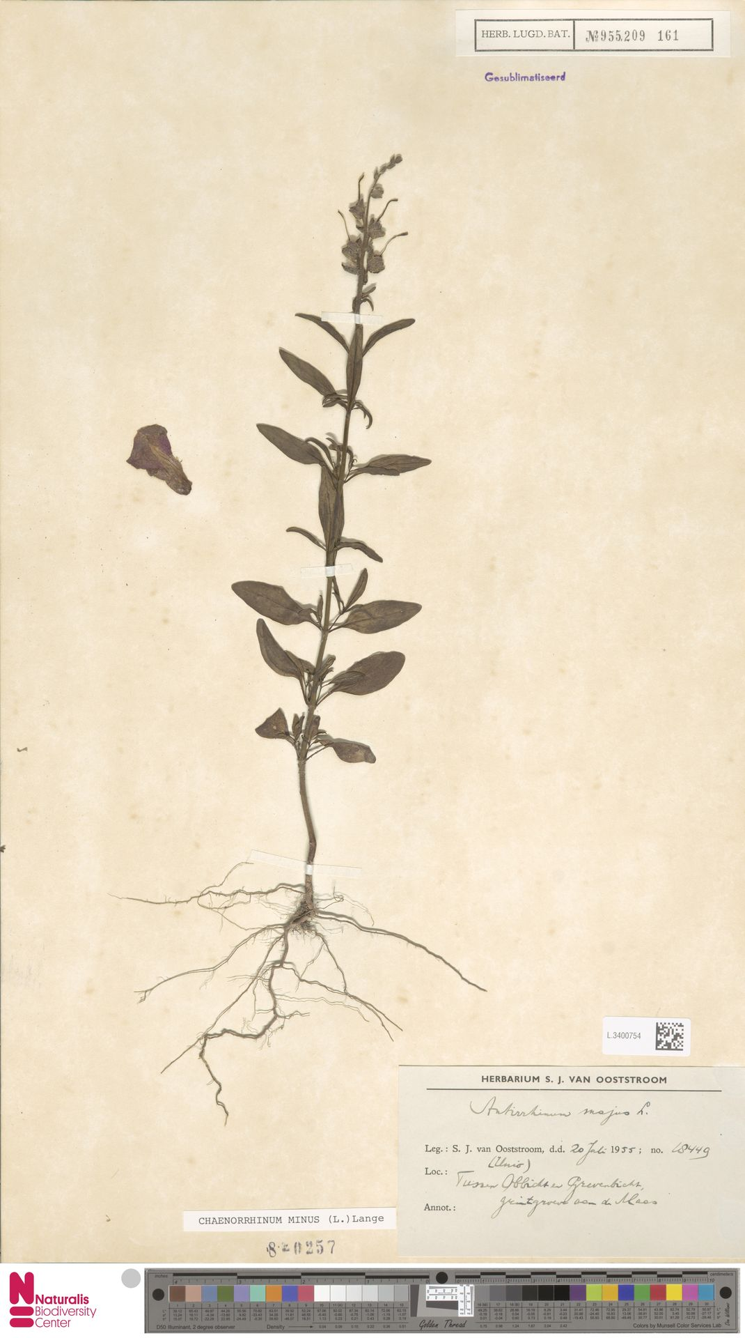 L.3400754 | Antirrhinum majus L.