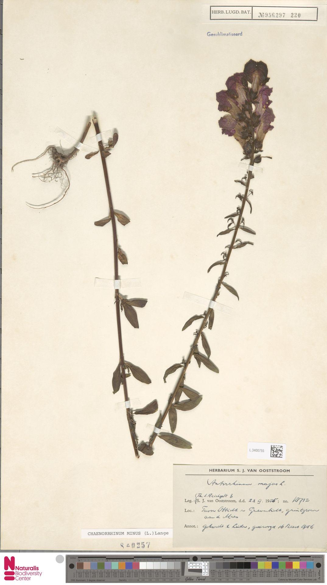 L.3400755 | Antirrhinum majus L.