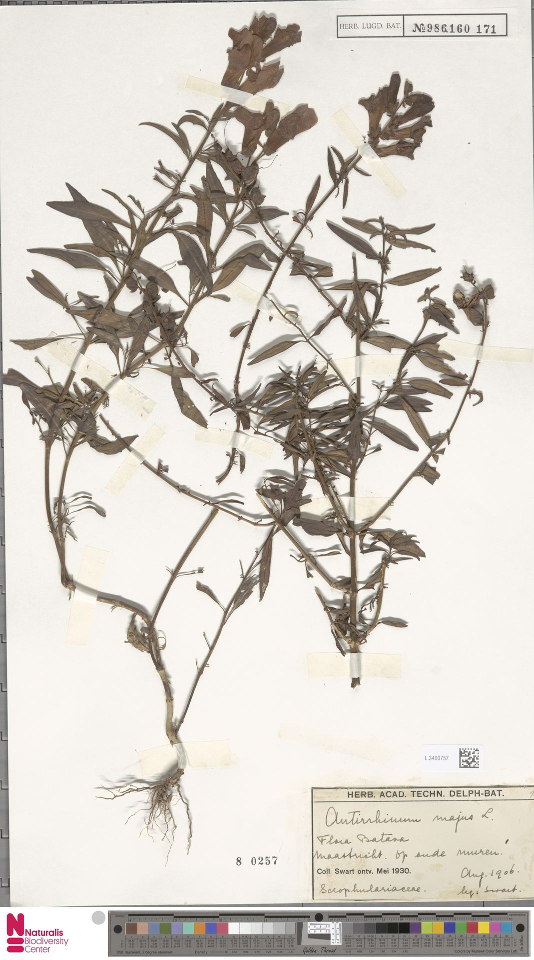 L.3400757 | Antirrhinum majus L.