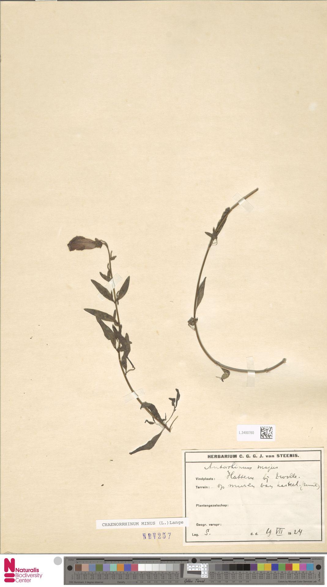 L.3400760 | Antirrhinum majus L.