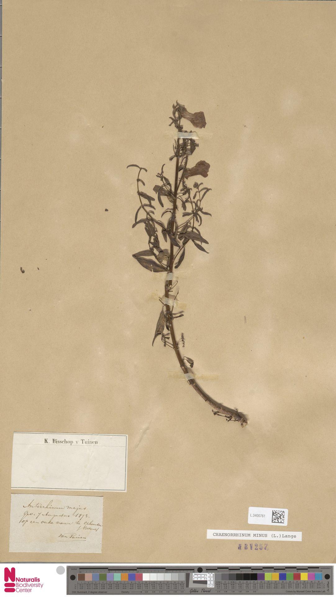L.3400761 | Antirrhinum majus L.
