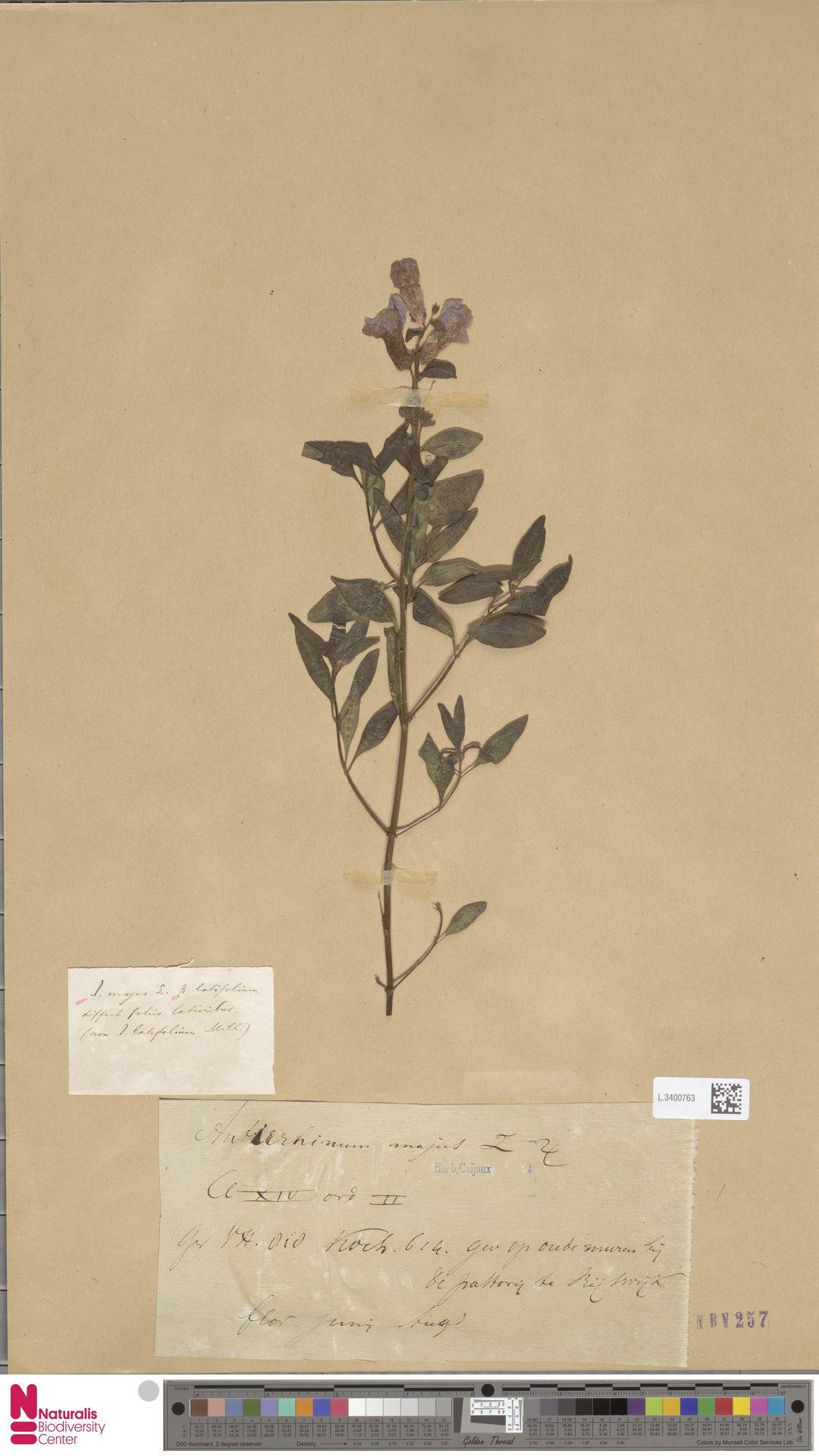 L.3400763 | Antirrhinum majus L.