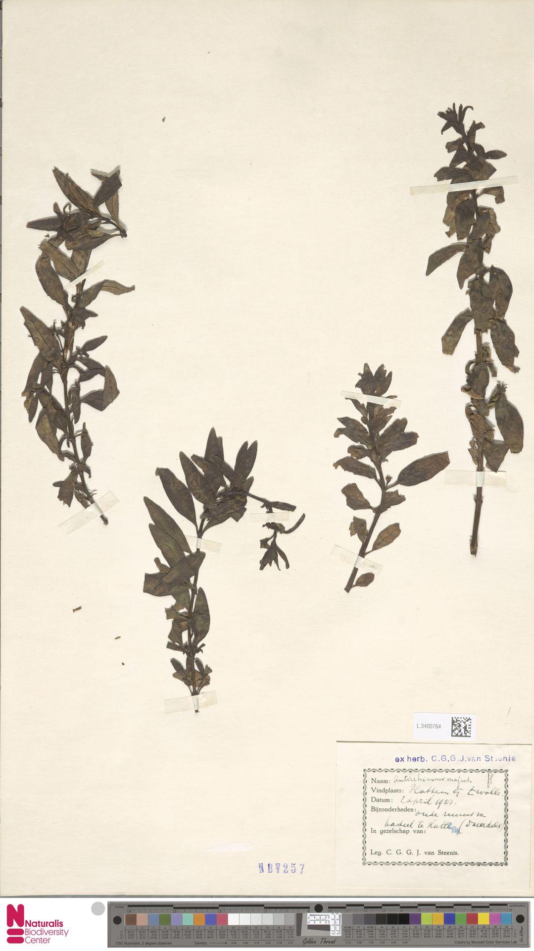 L.3400764 | Antirrhinum majus L.