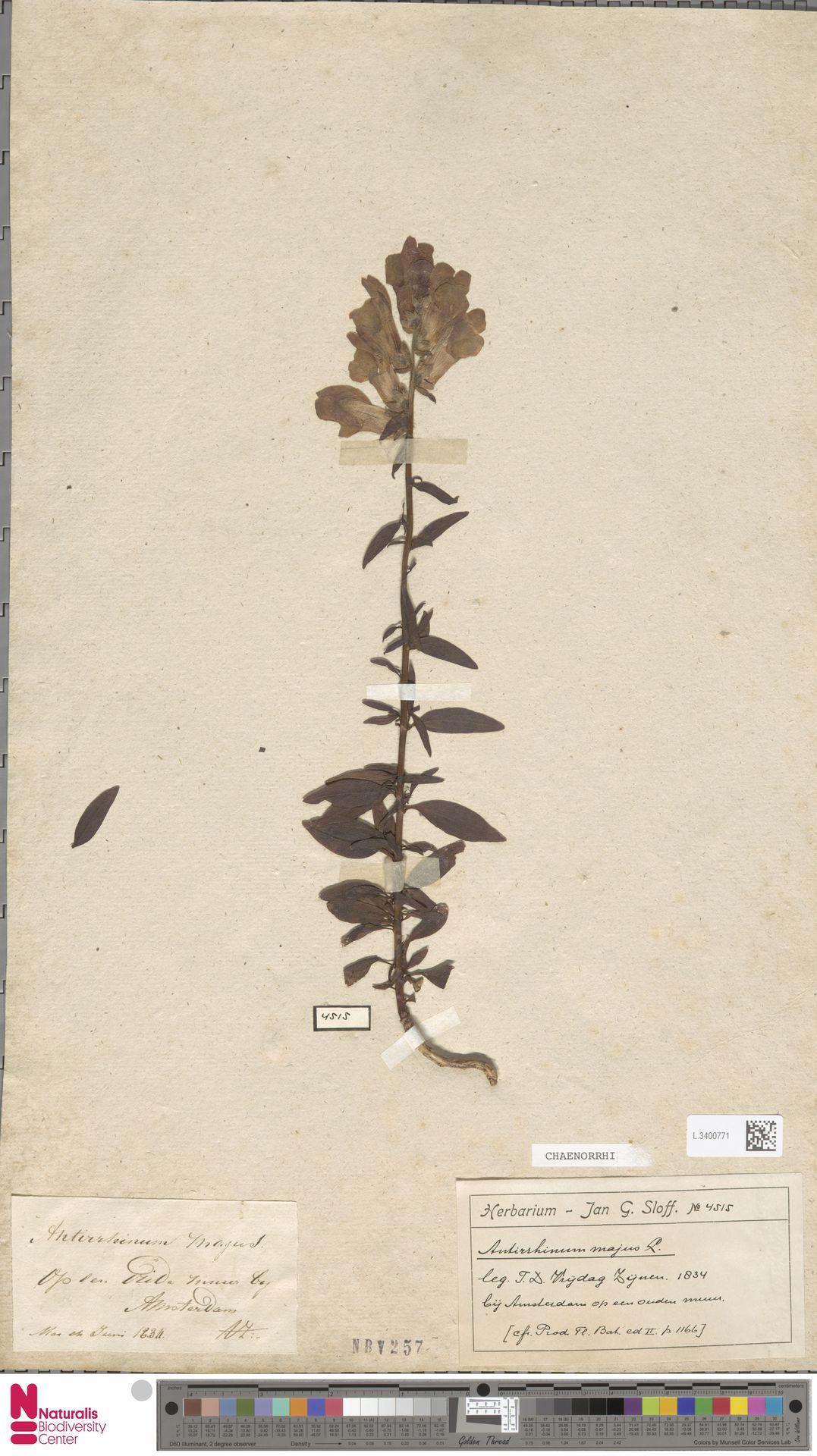L.3400771 | Antirrhinum majus L.