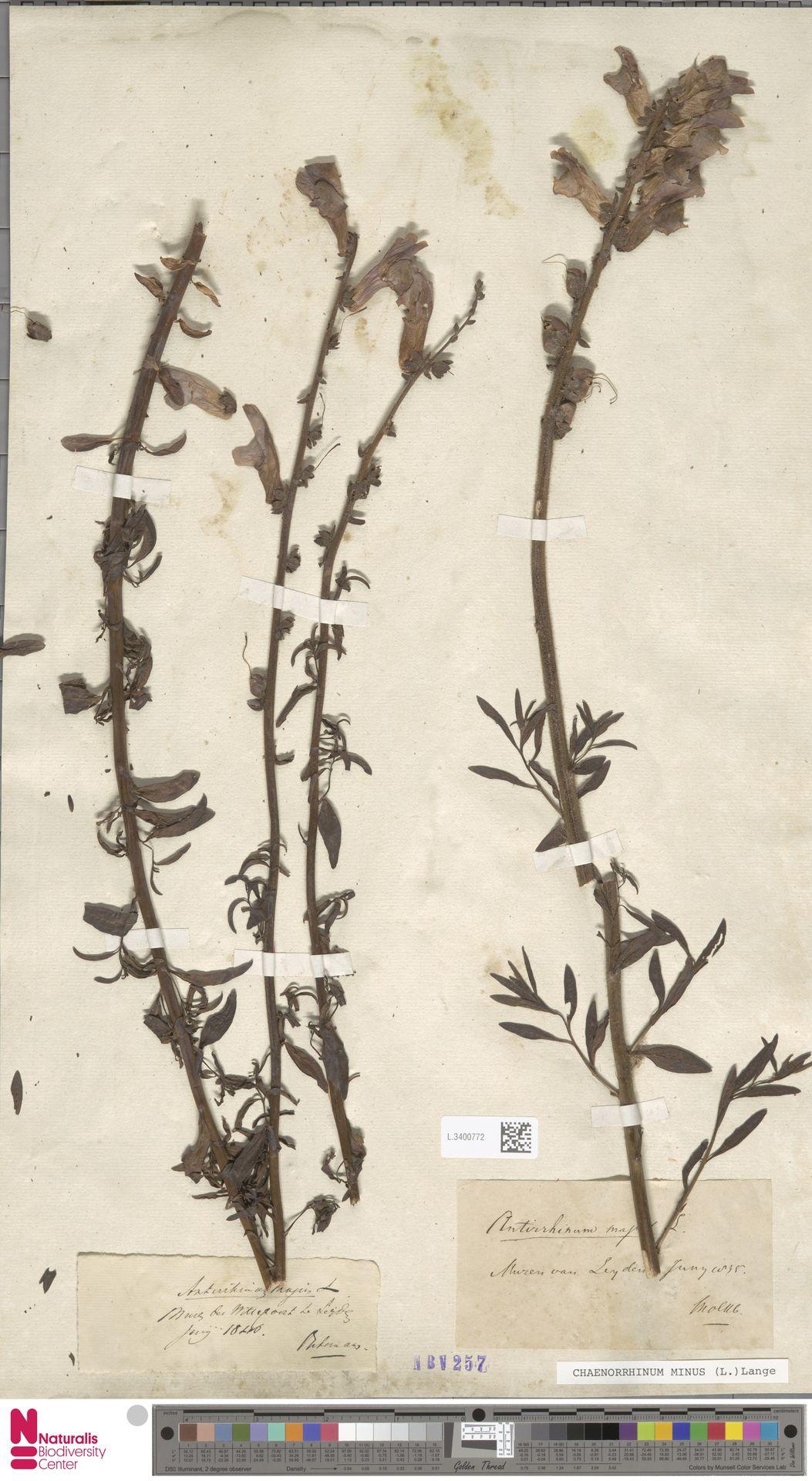 L.3400772 | Antirrhinum majus L.