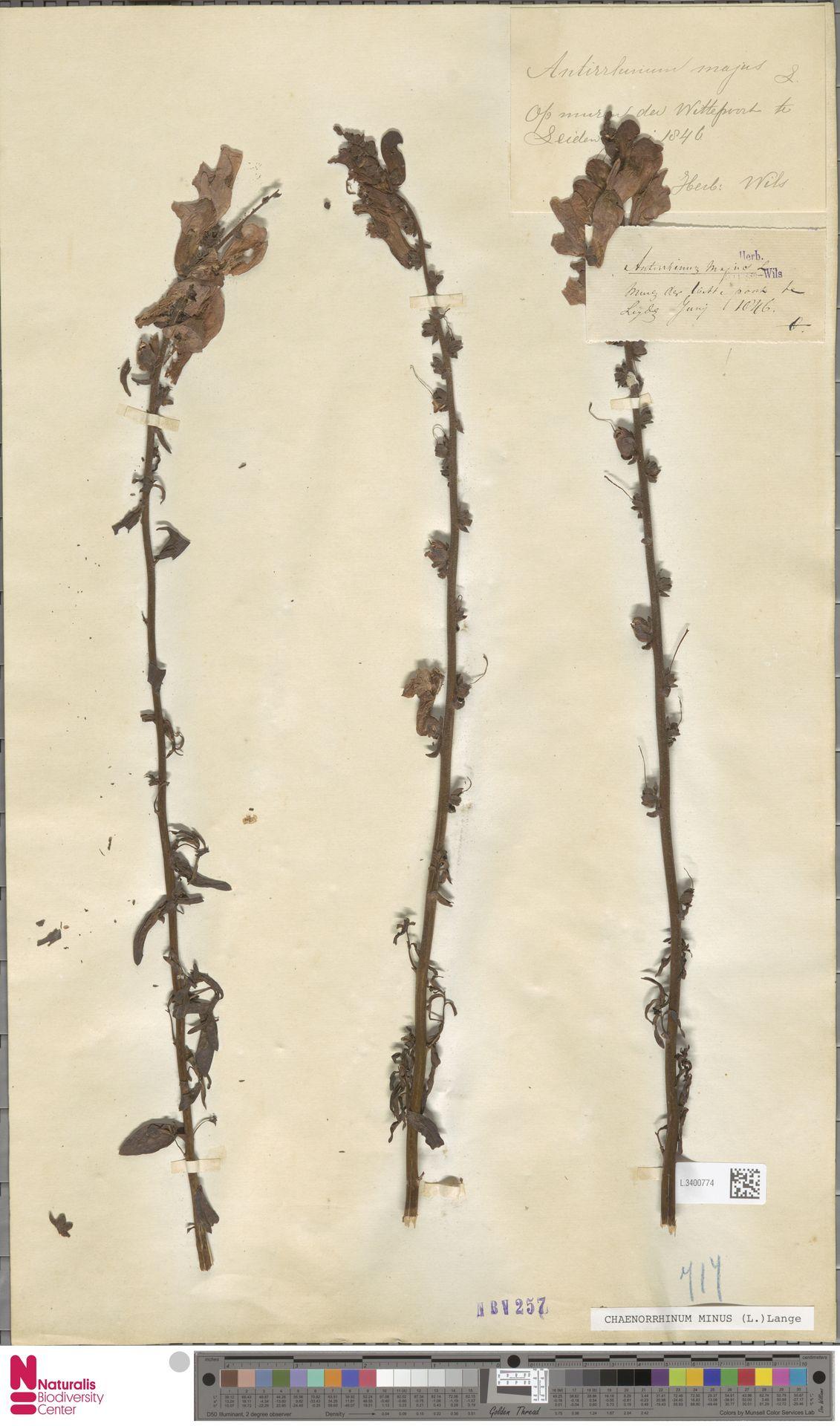 L.3400774 | Antirrhinum majus L.