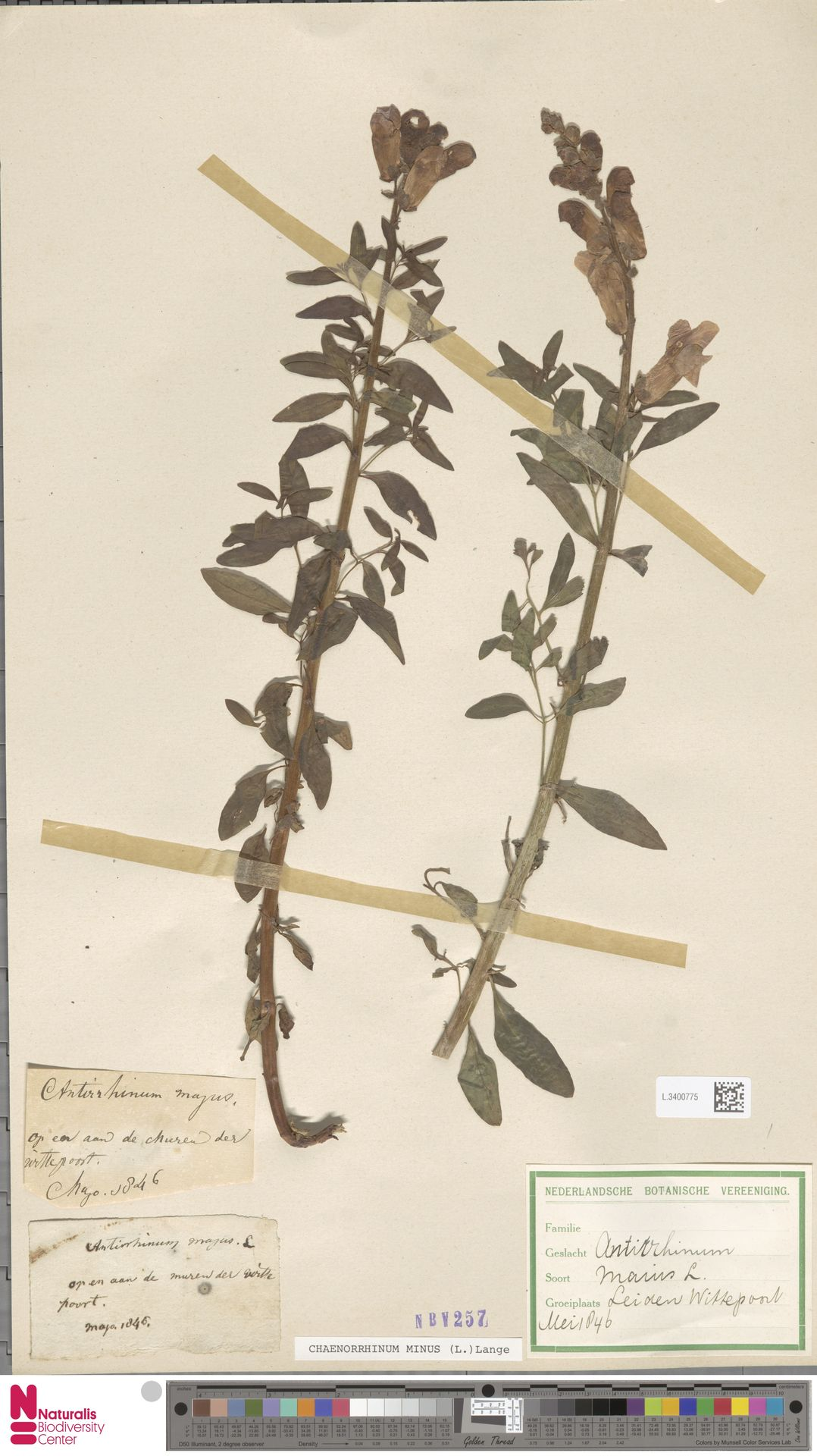 L.3400775 | Antirrhinum majus L.