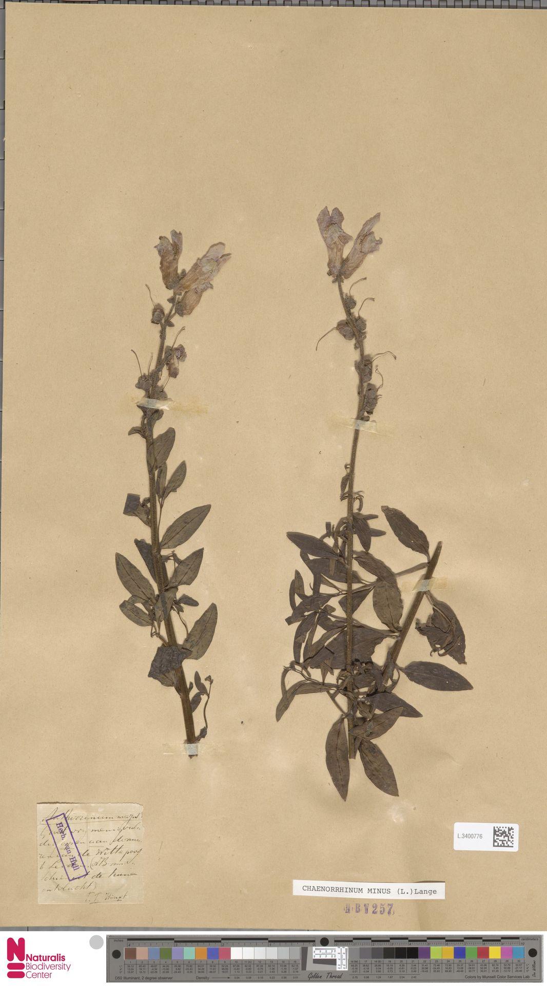 L.3400776 | Antirrhinum majus L.
