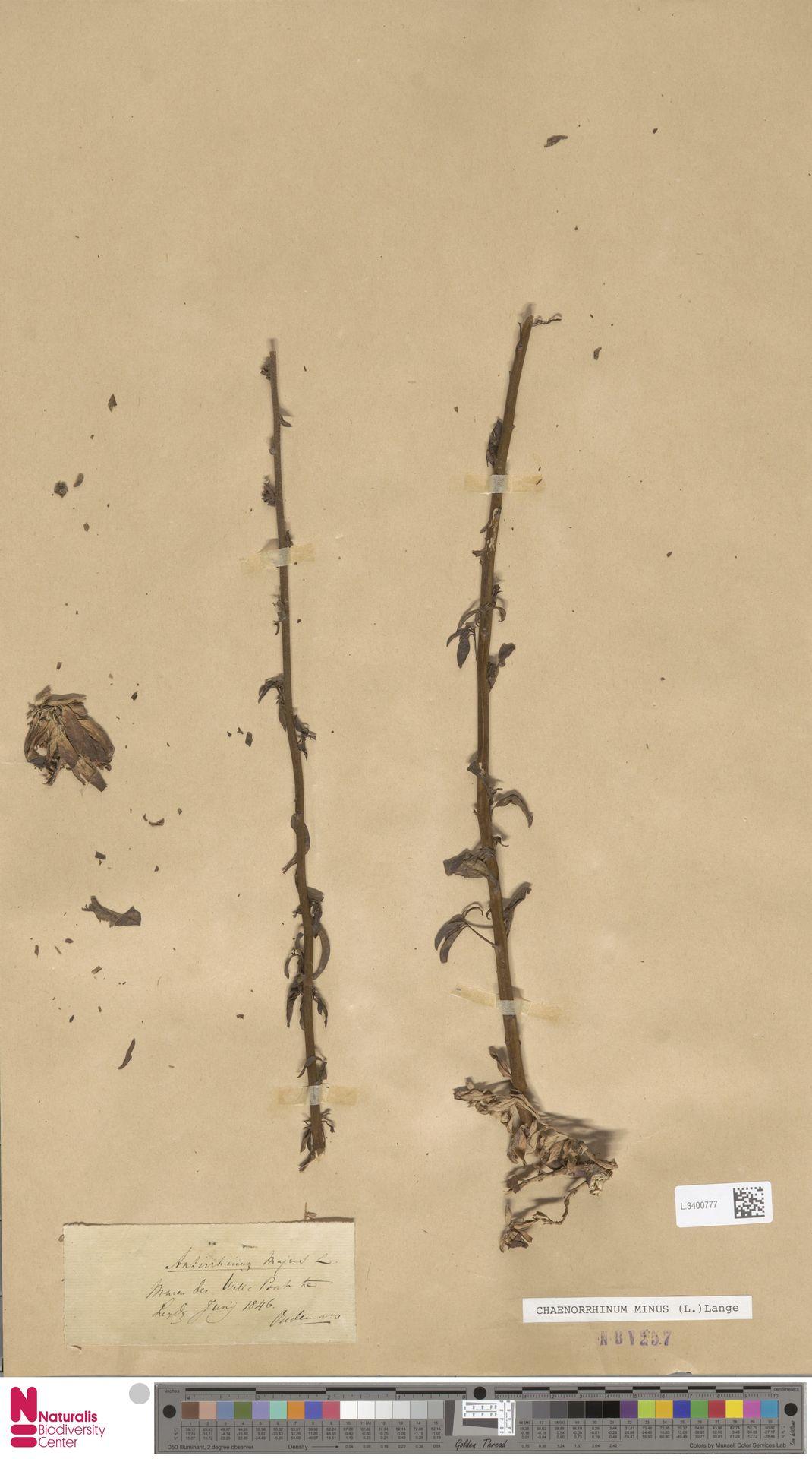 L.3400777 | Antirrhinum majus L.