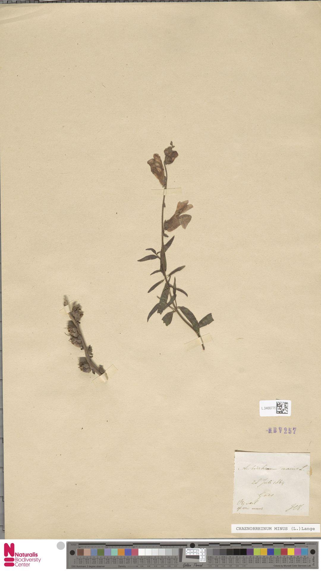 L.3400779 | Antirrhinum majus L.
