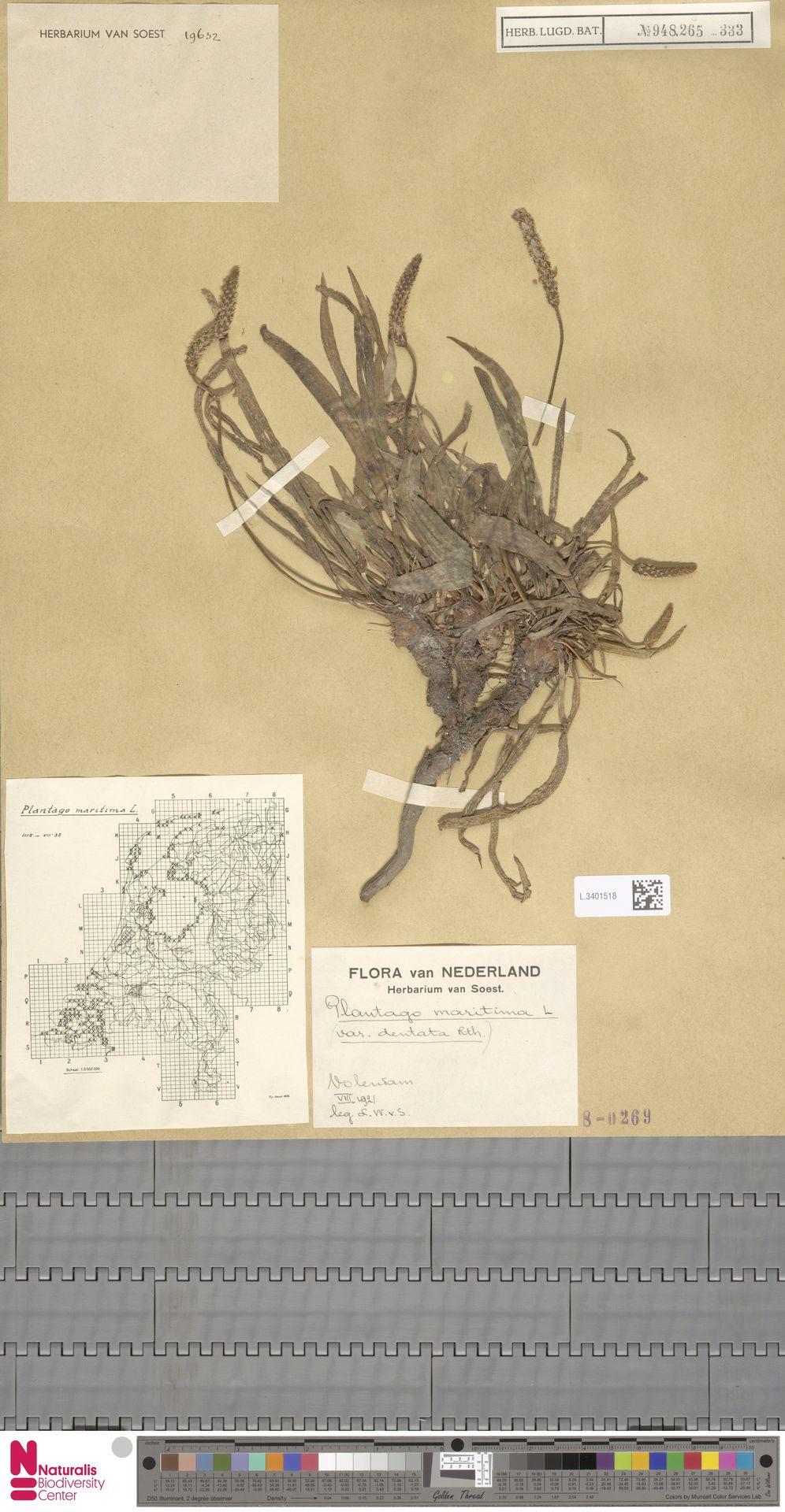 L.3401518   Plantago maritima L.