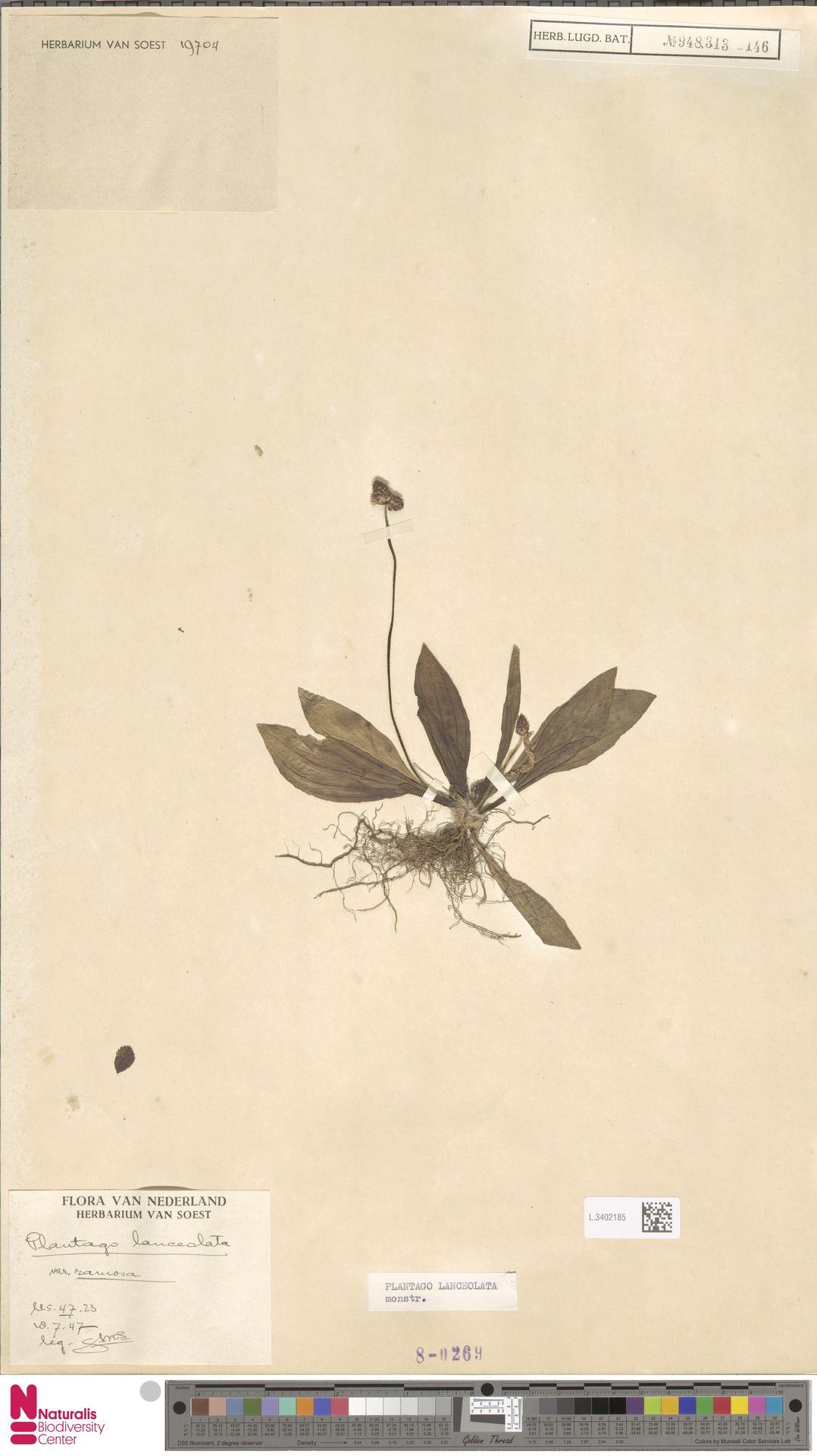 L.3402185   Plantago lanceolata L.