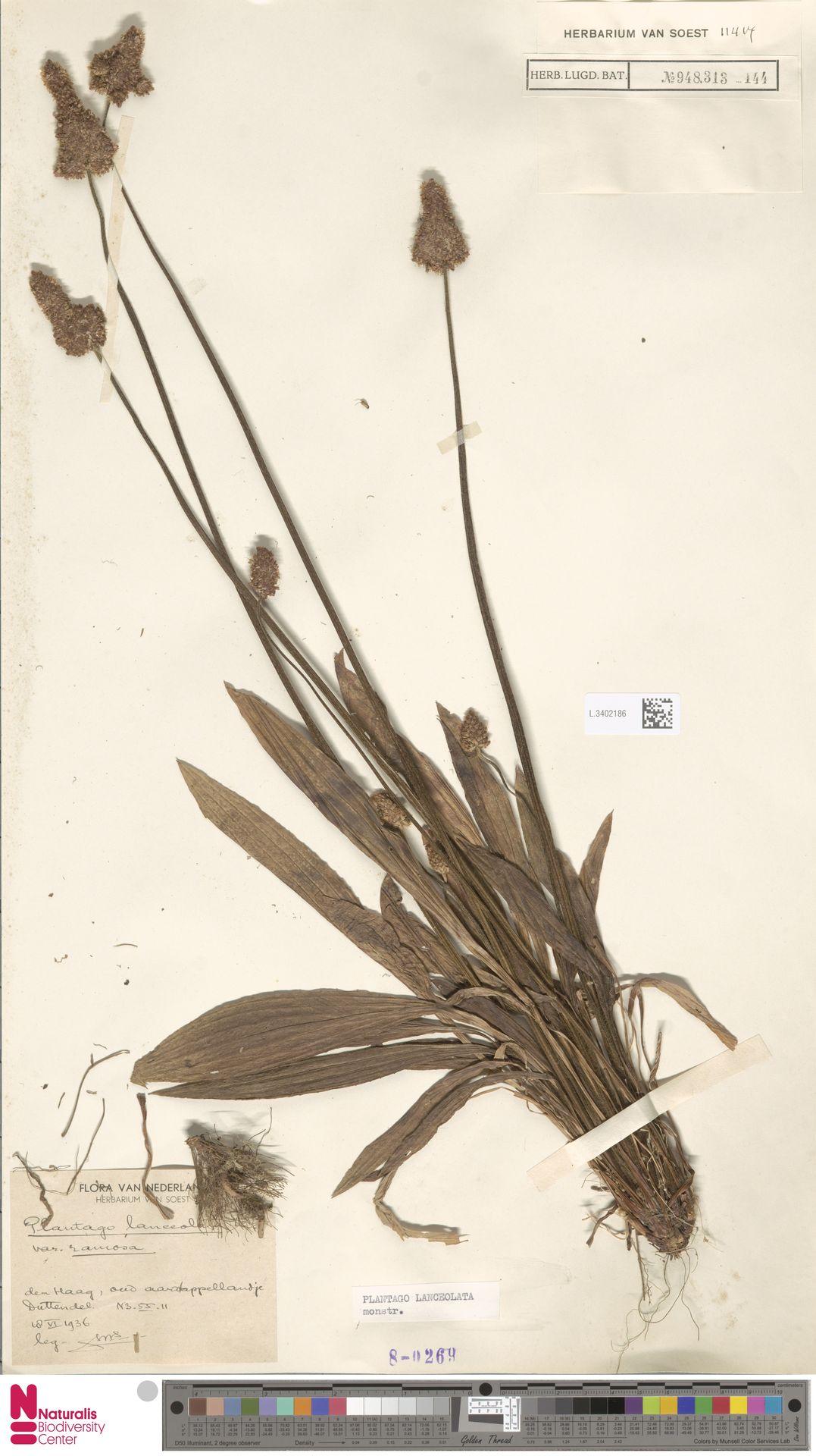 L.3402186   Plantago lanceolata L.