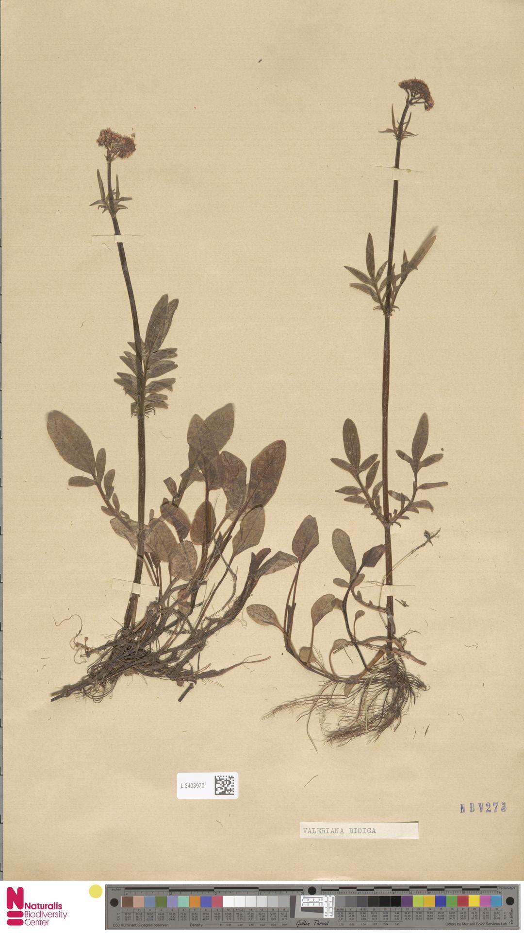 L.3403970 | Valeriana dioica L.