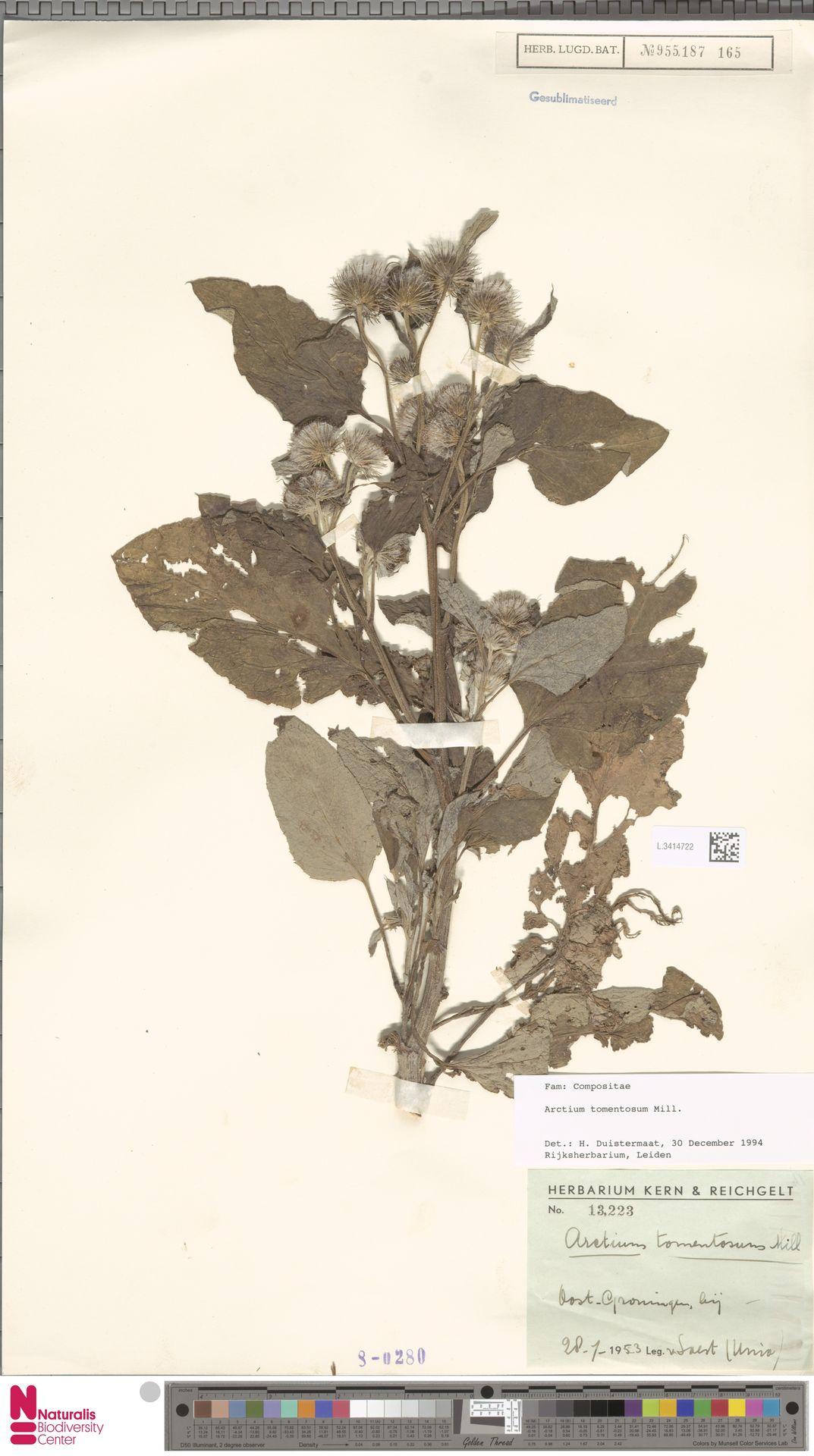 L.3414722 | Arctium tomentosum Mill.