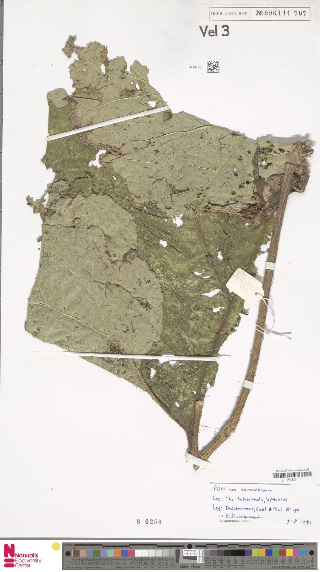 L.3414773 | Arctium tomentosum Mill.