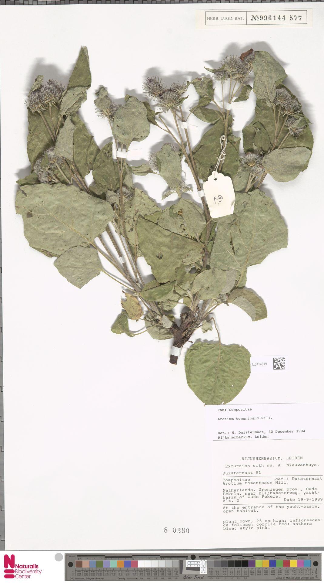 L.3414819 | Arctium tomentosum Mill.