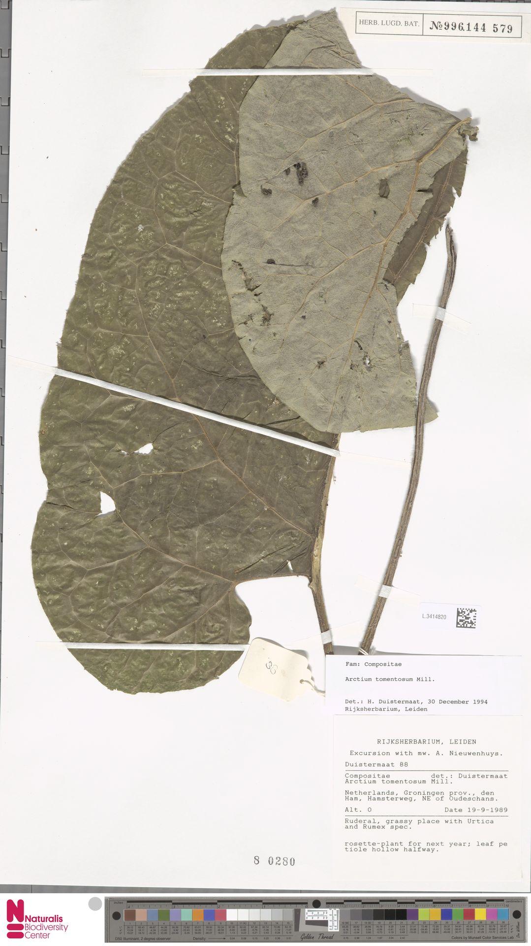 L.3414820 | Arctium tomentosum Mill.