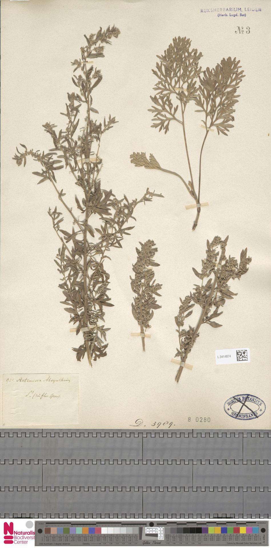 L.3414874 | Artemisia absinthium L.