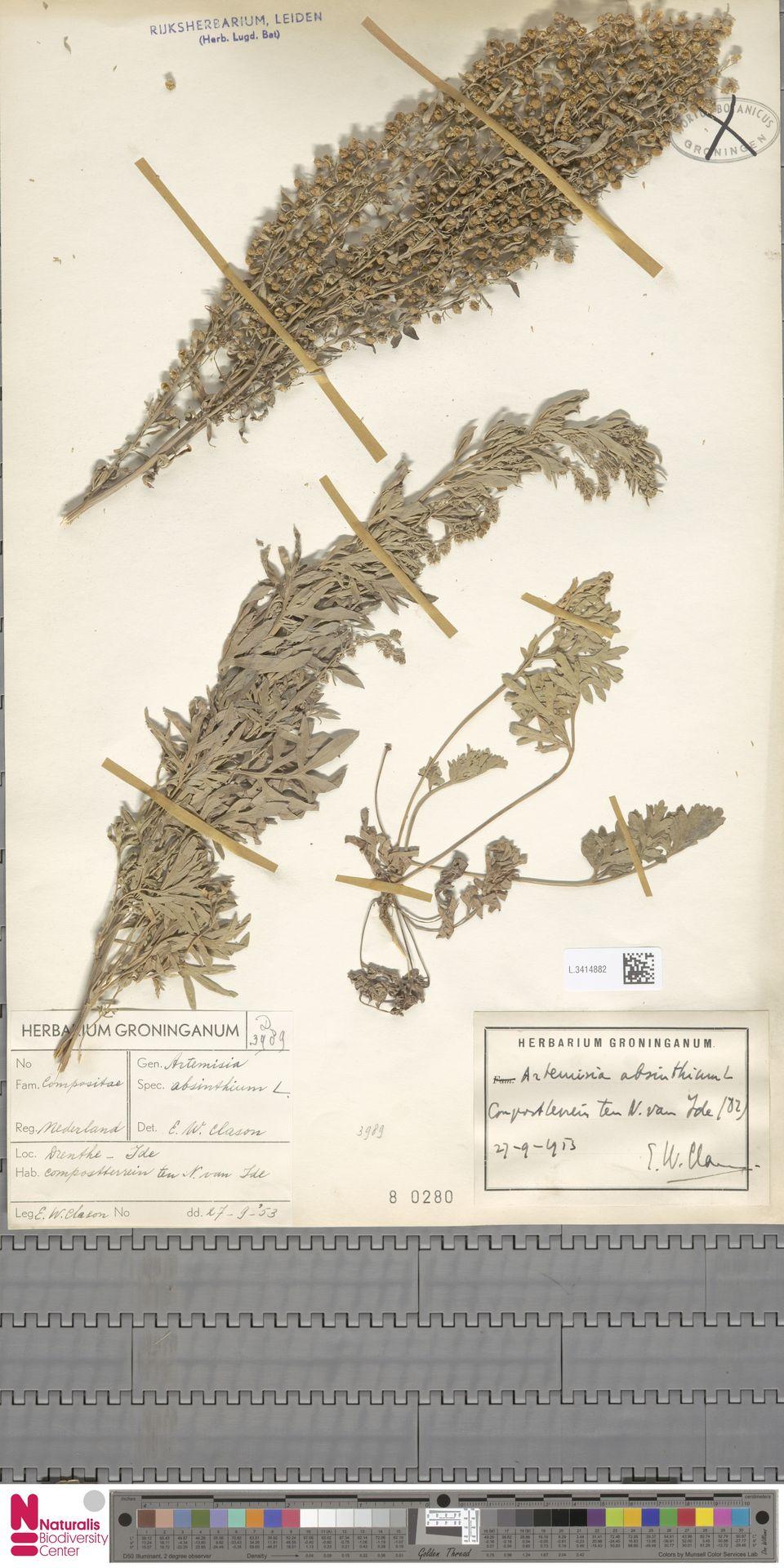 L.3414882 | Artemisia absinthium L.