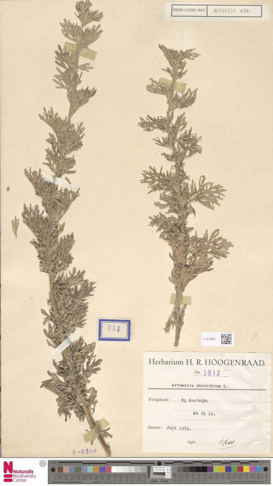 L.3414887 | Artemisia absinthium L.