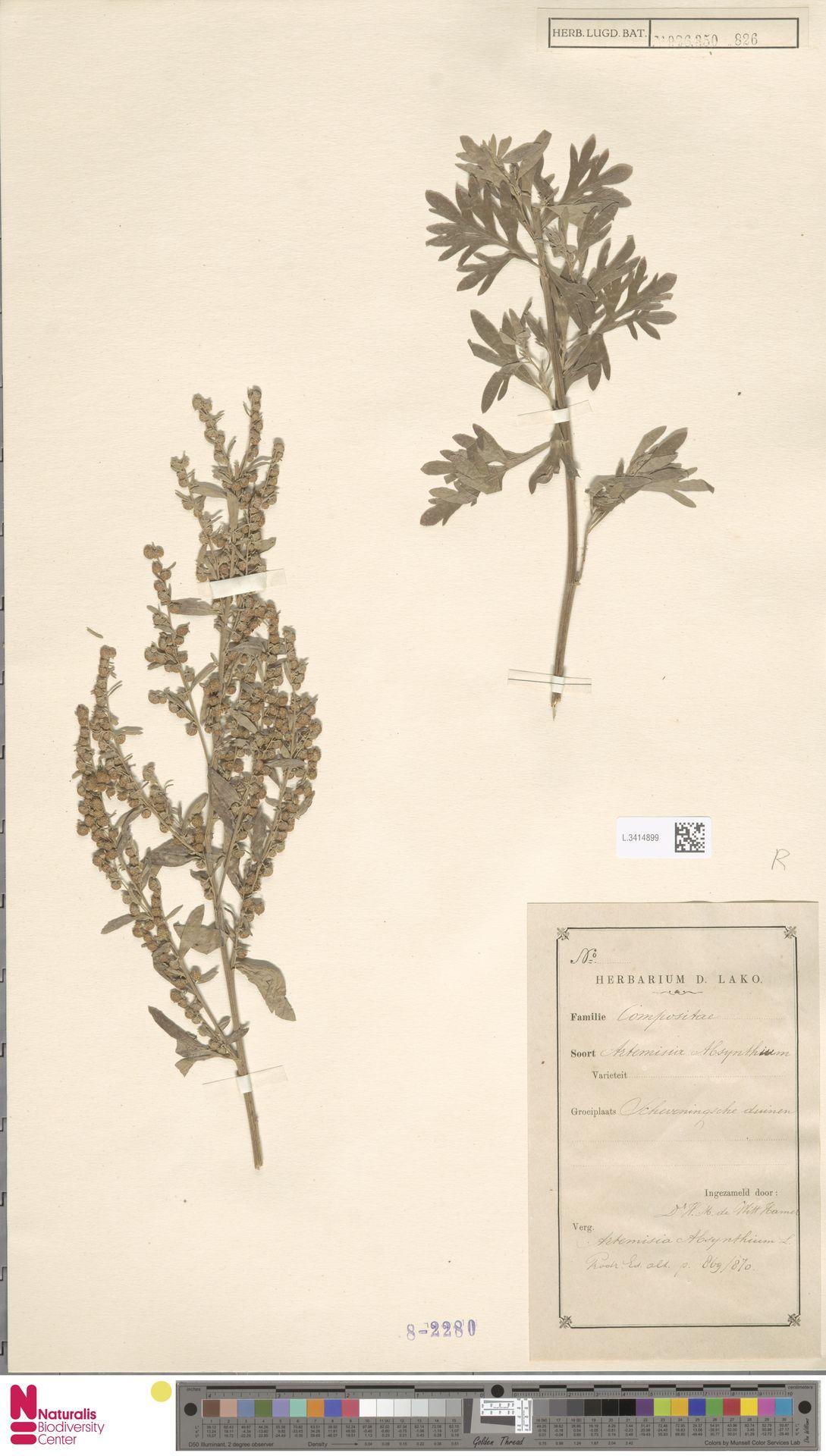 L.3414899 | Artemisia absinthium L.