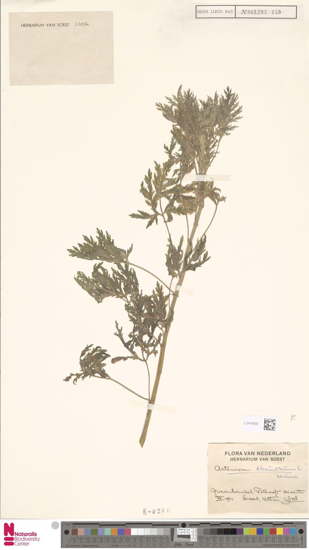 L.3414930 | Artemisia absinthium L.