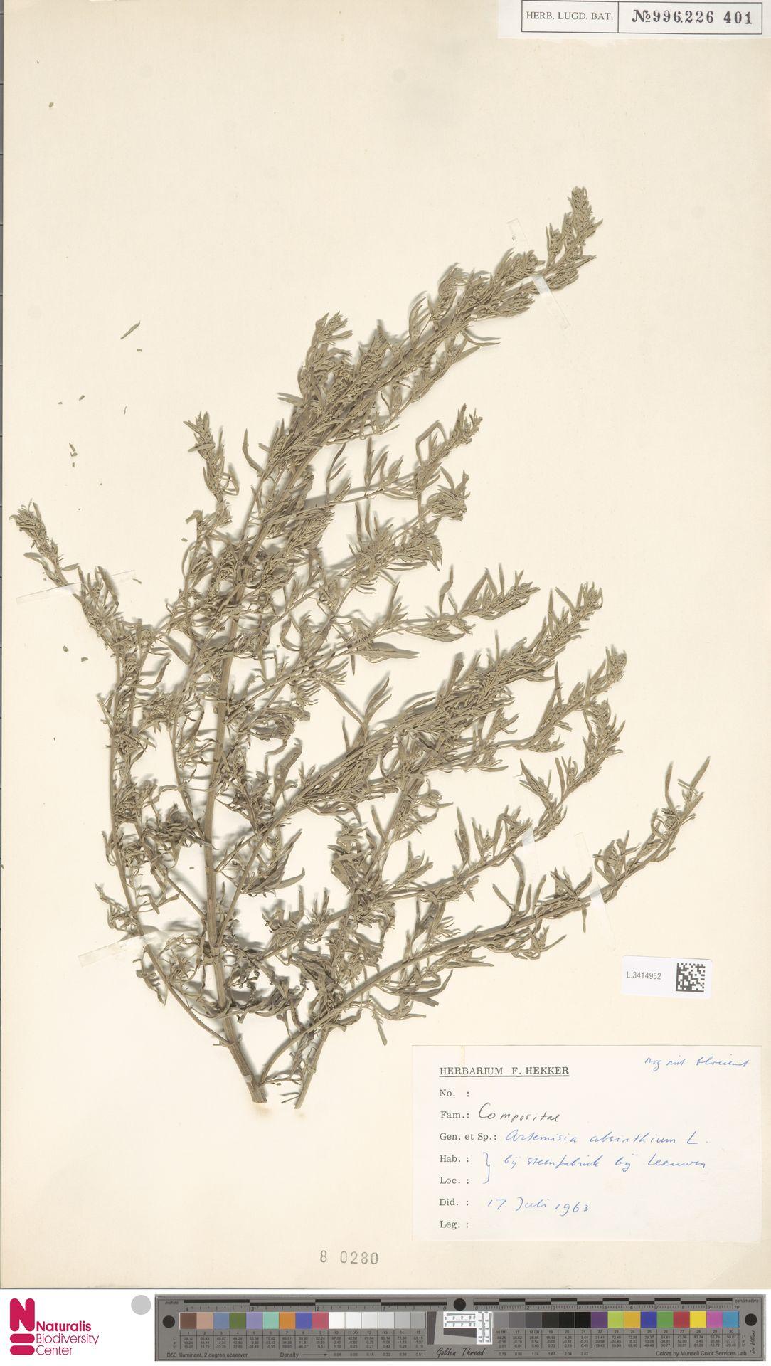L.3414952 | Artemisia absinthium L.