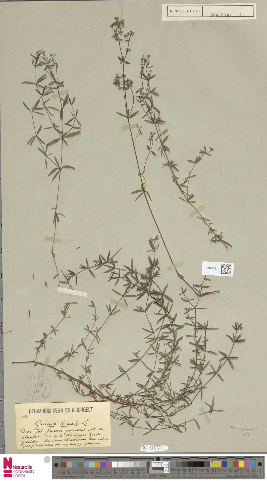L.3416078 | Galium boreale L.