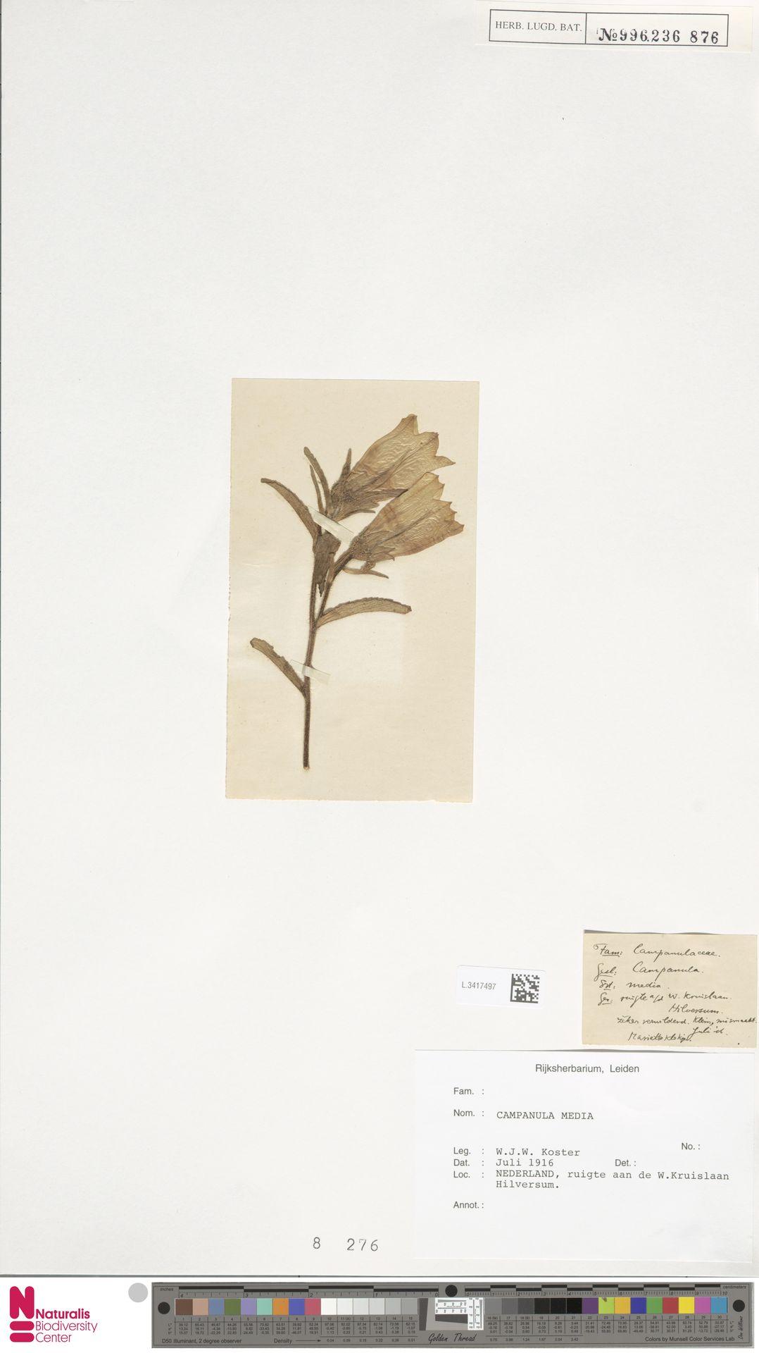 L.3417497 | Campanula medium L.