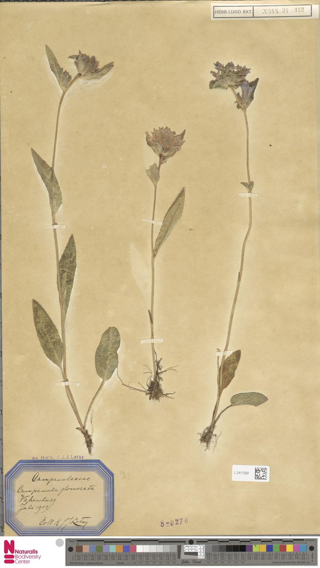 L.3417569 | Campanula glomerata L.