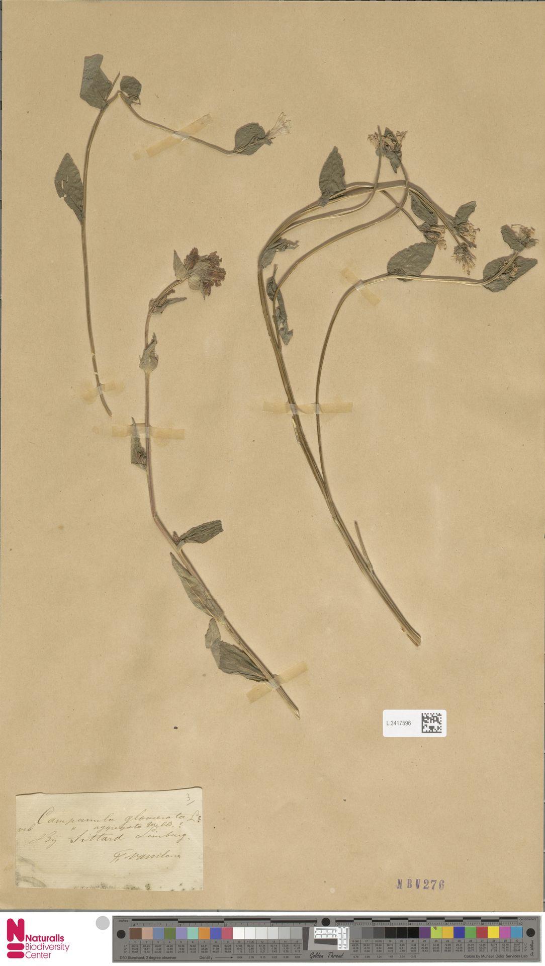 L.3417596 | Campanula glomerata L.