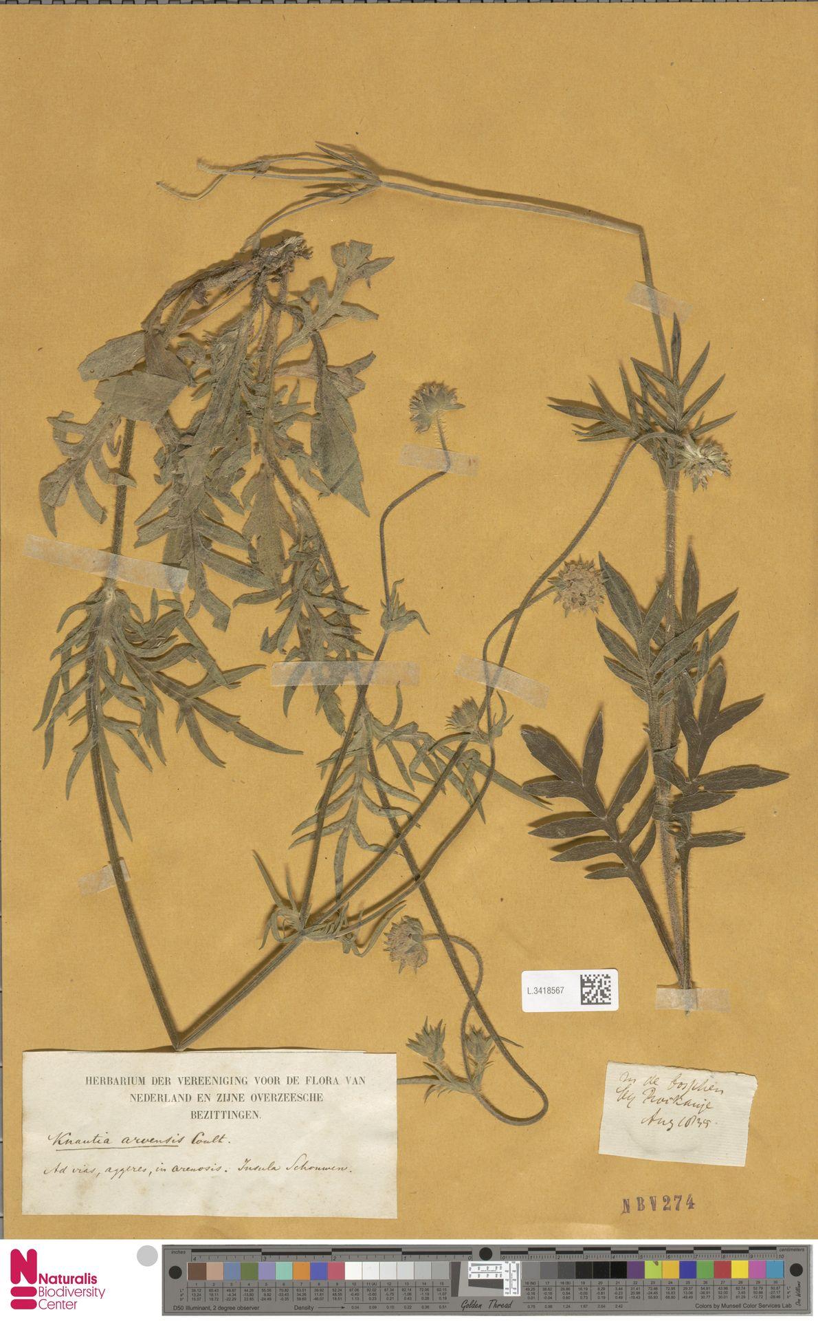 L.3418567 | Knautia arvensis (L.) Coult.