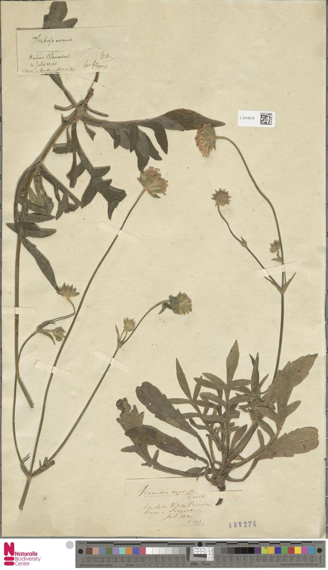 L.3418579 | Knautia arvensis (L.) Coult.