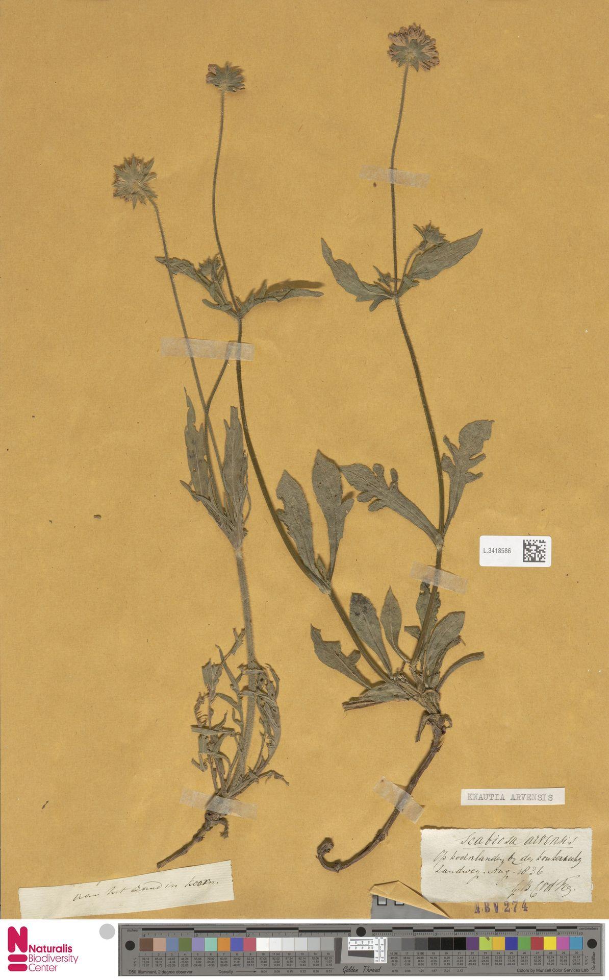 L.3418586 | Knautia arvensis (L.) Coult.