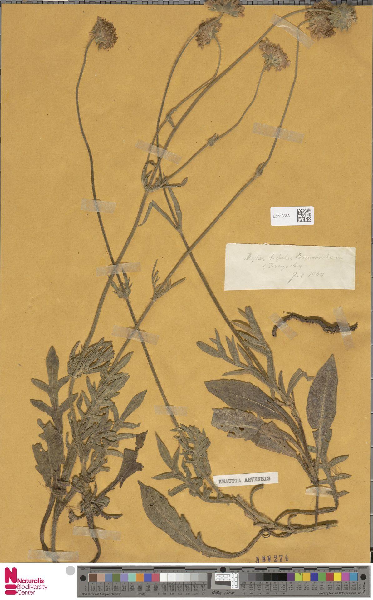 L.3418588 | Knautia arvensis (L.) Coult.