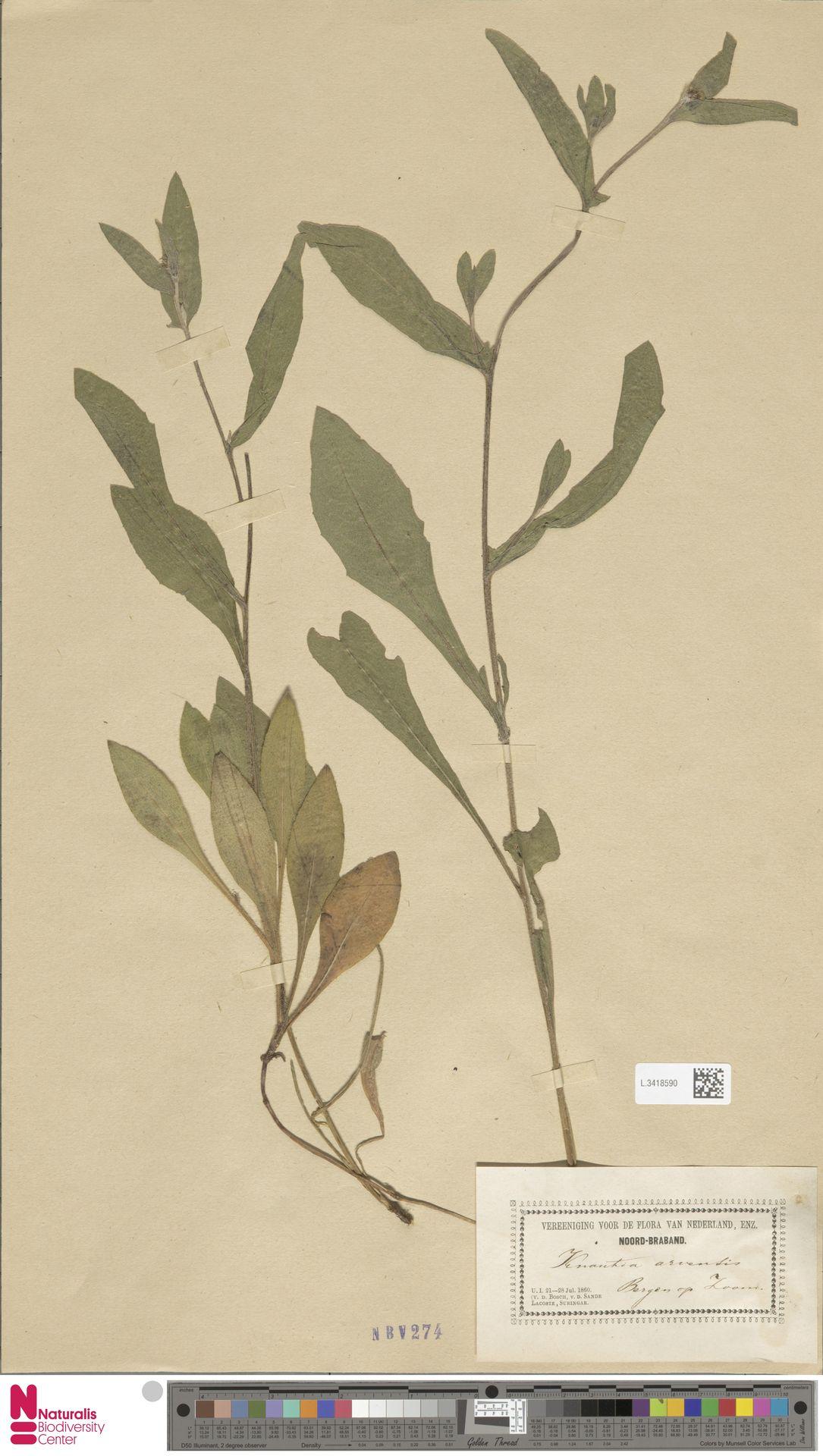 L.3418590 | Knautia arvensis (L.) Coult.