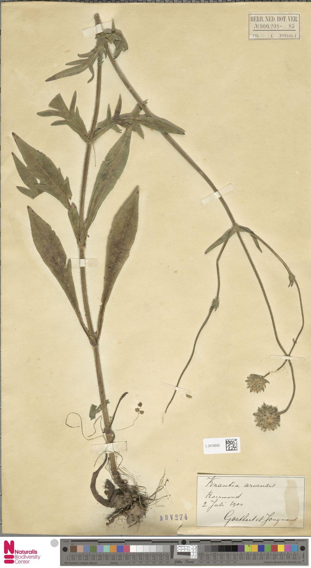 L.3418600 | Knautia arvensis (L.) Coult.