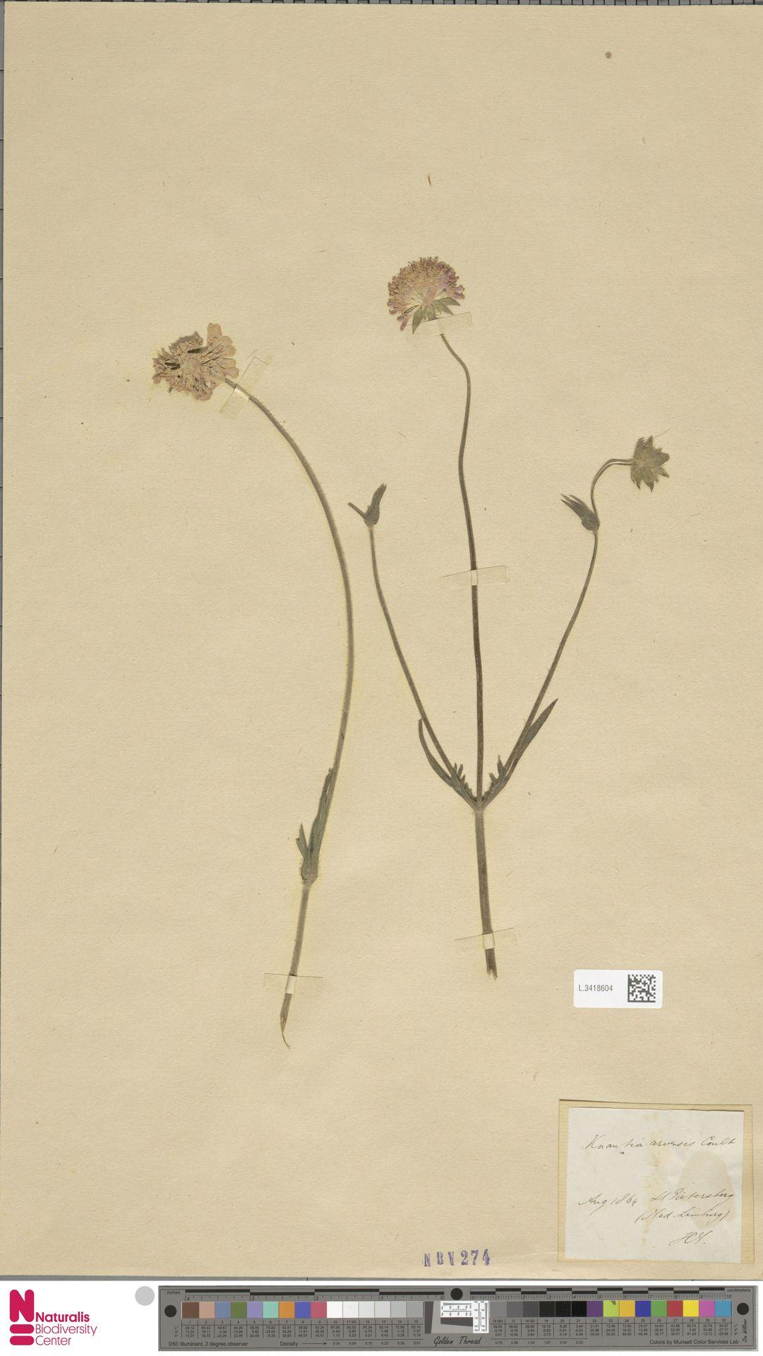 L.3418604 | Knautia arvensis (L.) Coult.