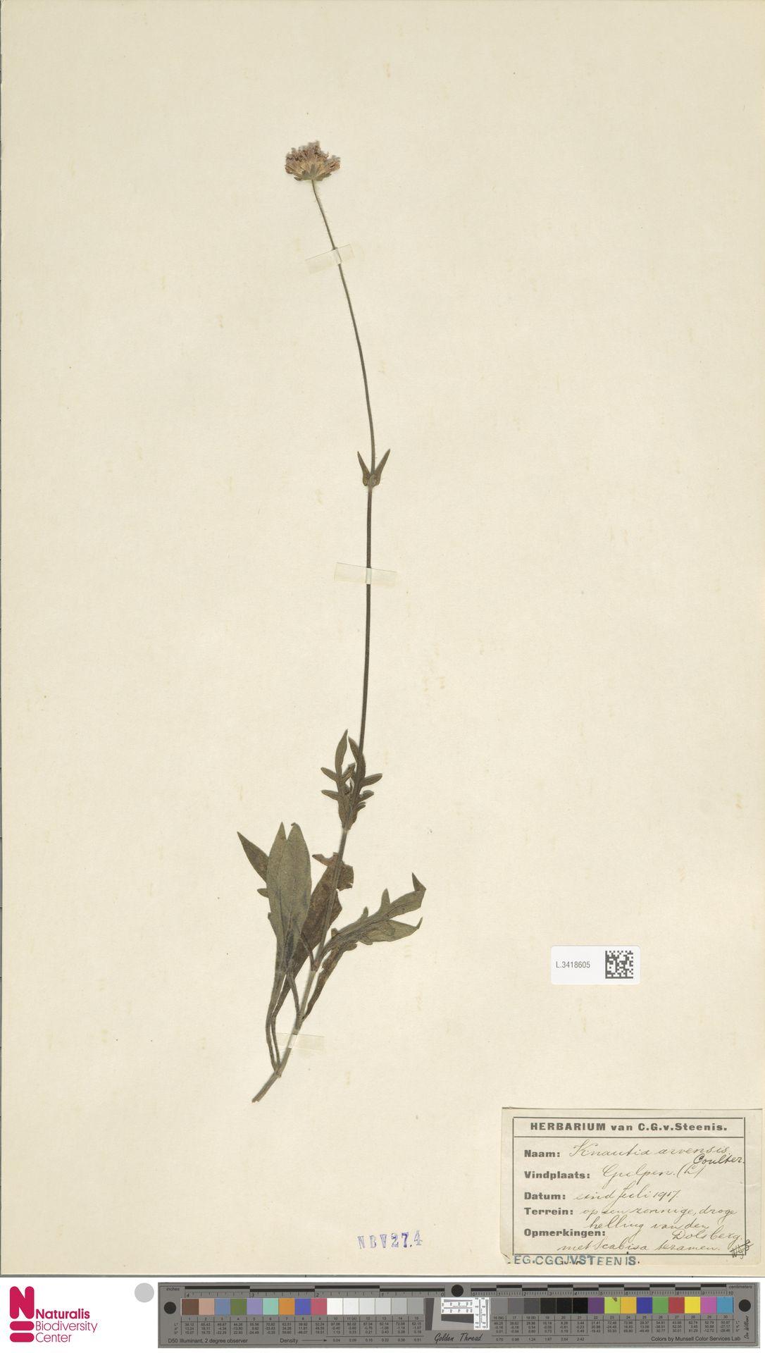 L.3418605 | Knautia arvensis (L.) Coult.