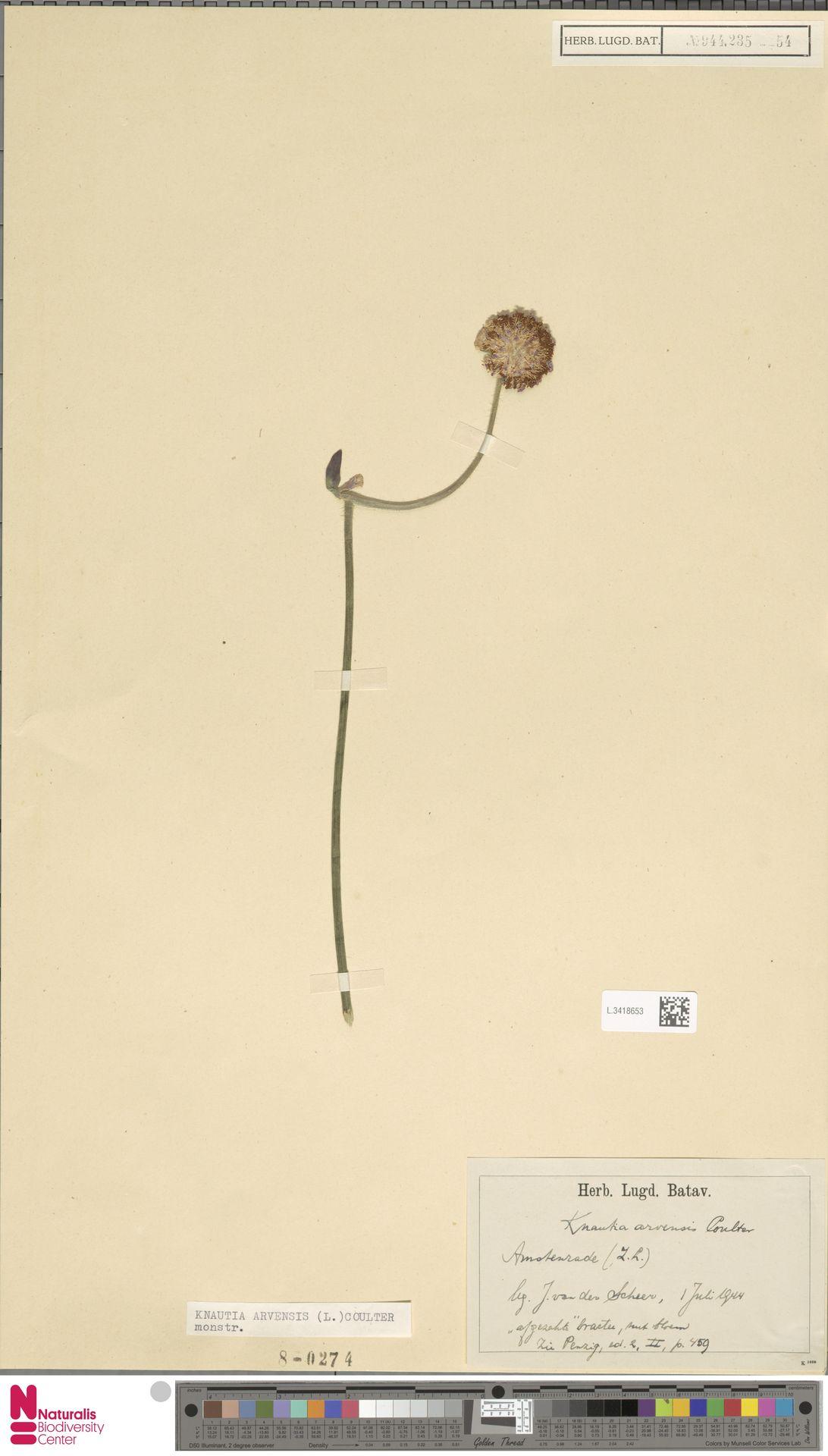 L.3418653 | Knautia arvensis (L.) Coult.