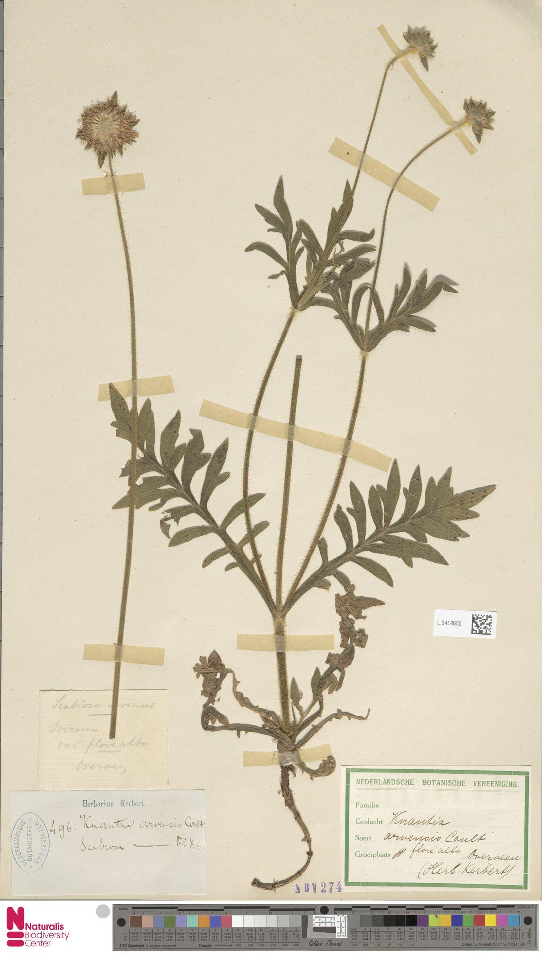 L.3418655 | Knautia arvensis (L.) Coult.