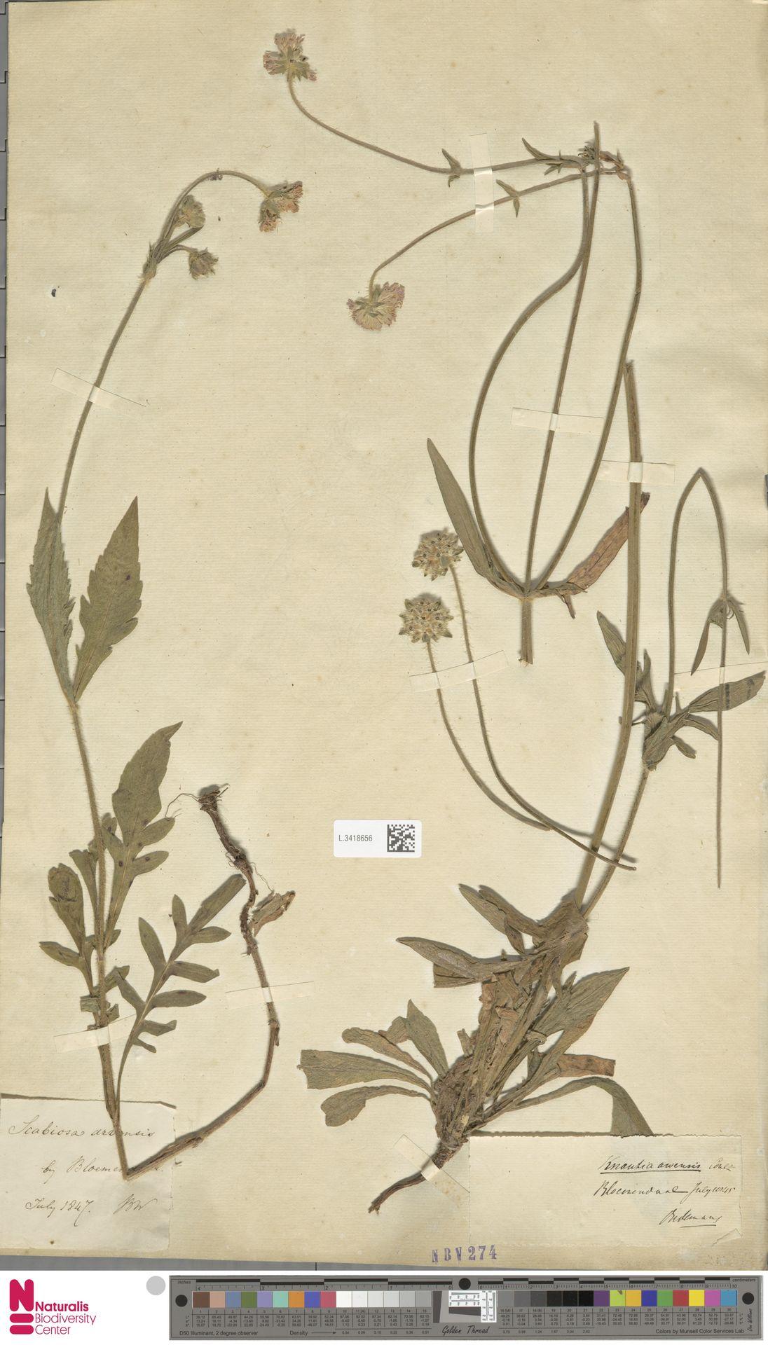 L.3418656   Knautia arvensis (L.) Coult.