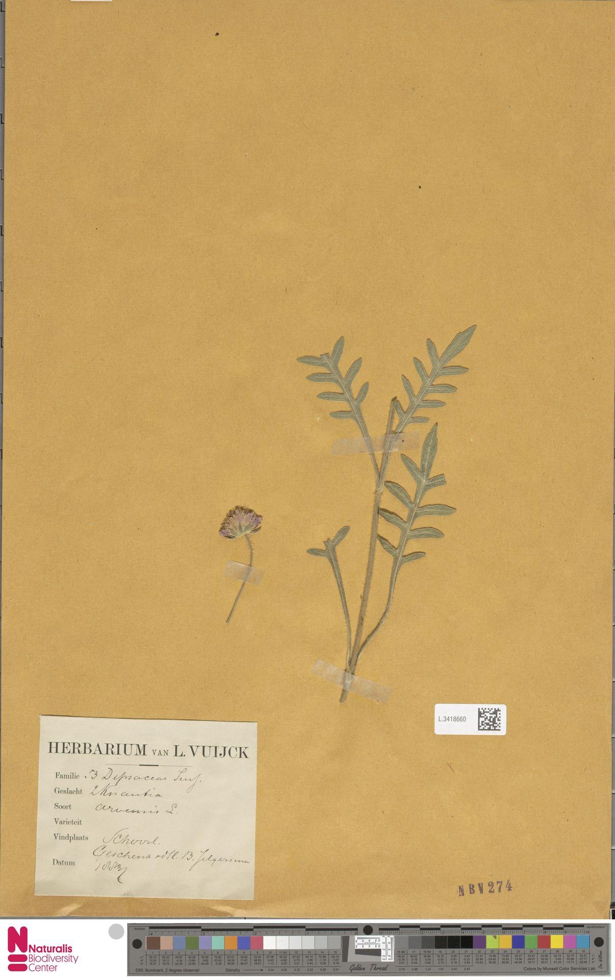 L.3418660   Knautia arvensis (L.) Coult.