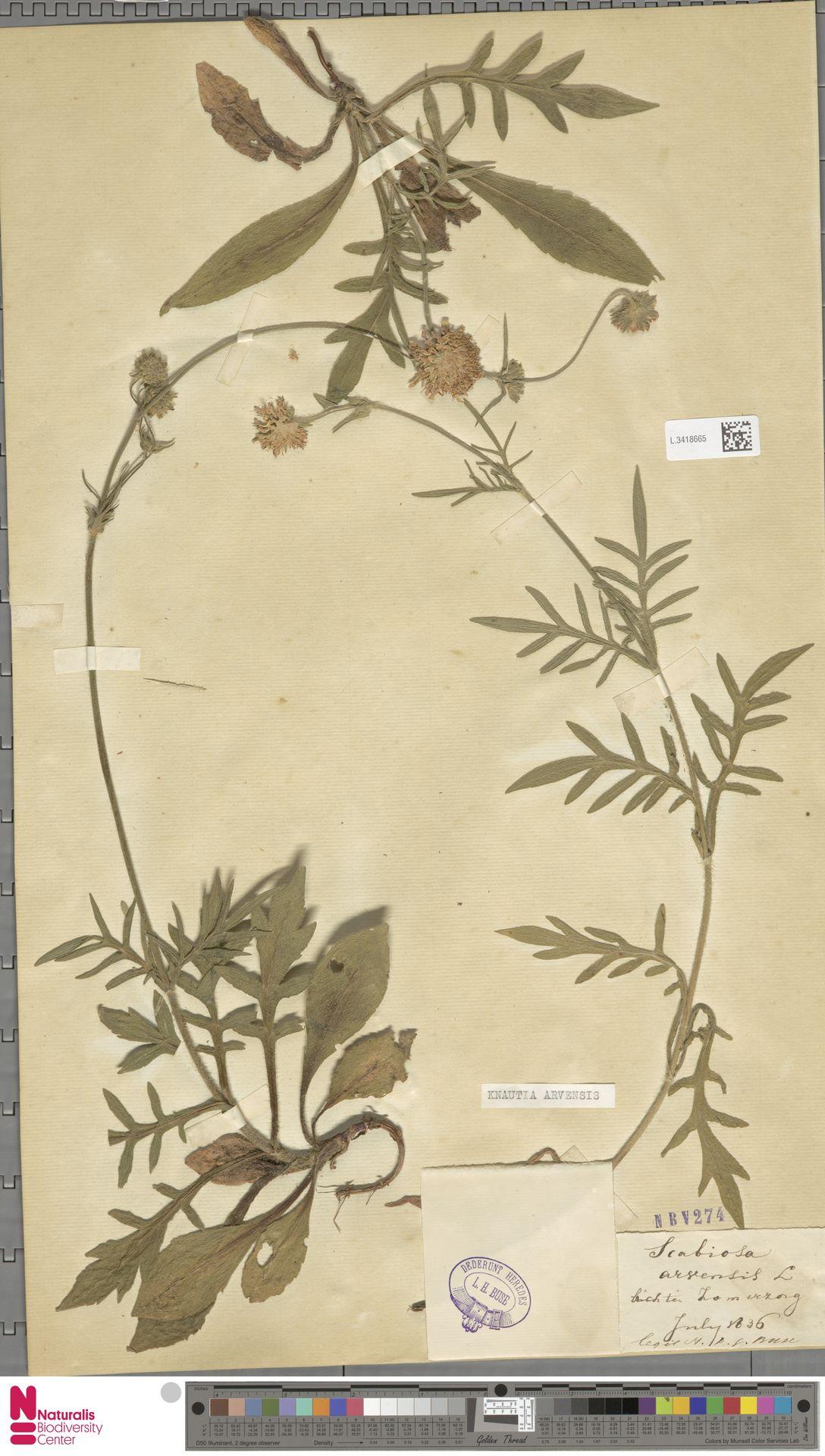 L.3418665 | Knautia arvensis (L.) Coult.