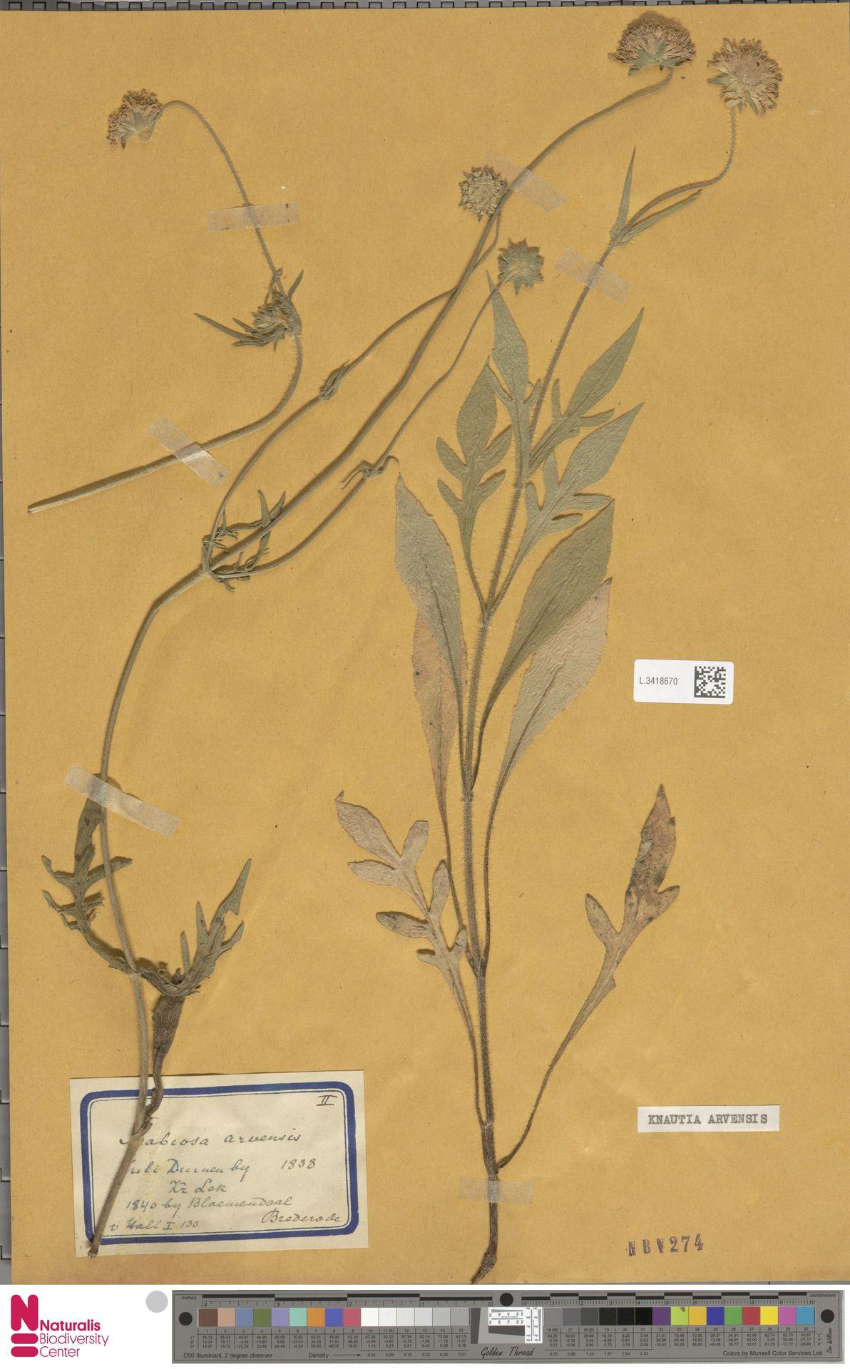 L.3418670 | Knautia arvensis (L.) Coult.