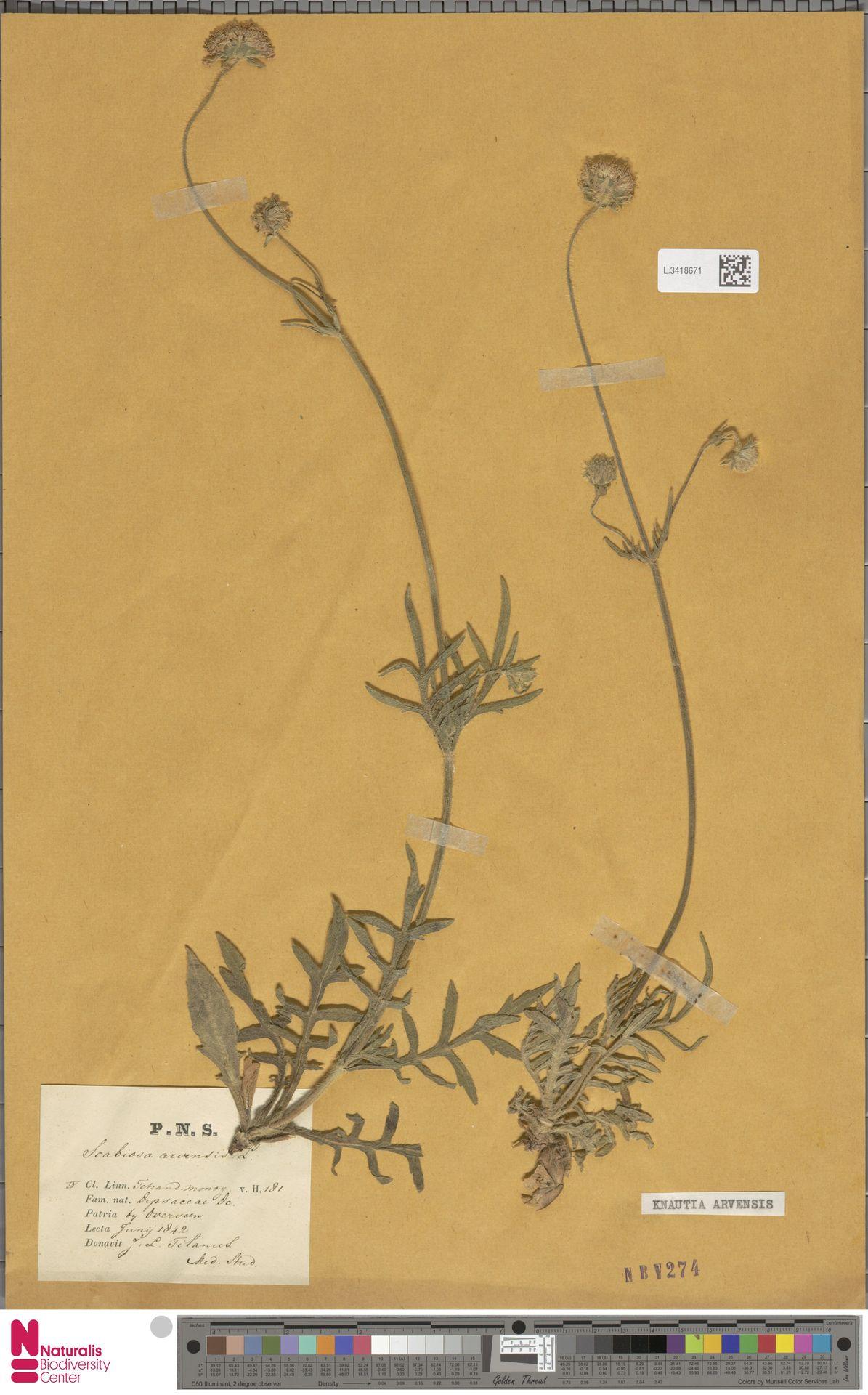 L.3418671 | Knautia arvensis (L.) Coult.